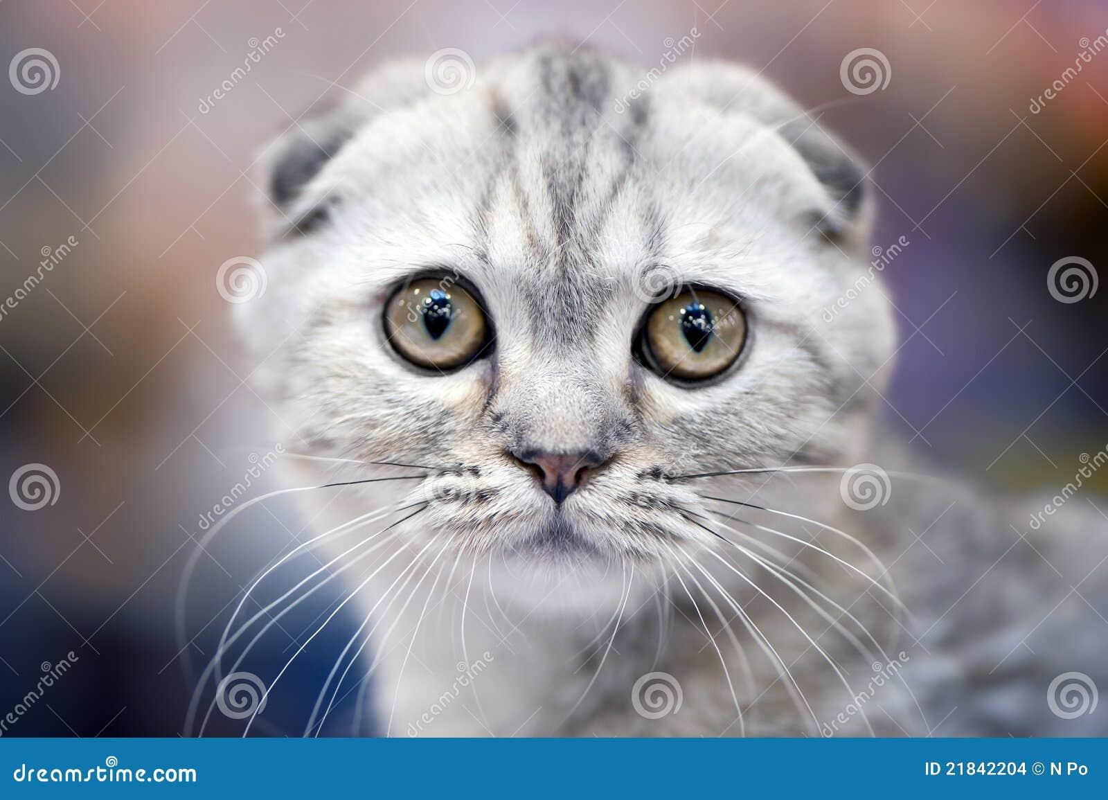 Chat de pli d écossais avec les oreilles avant,pliées