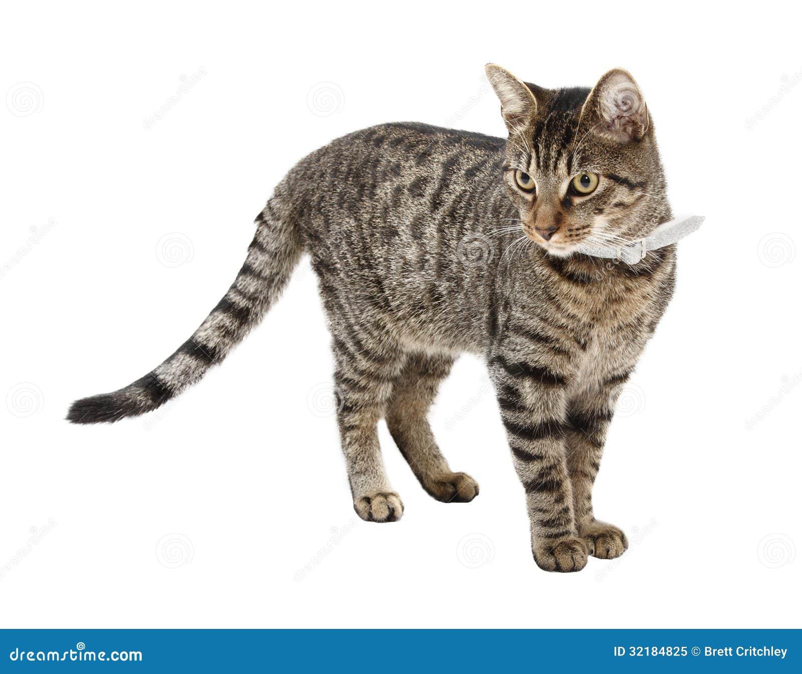 White Stripy Cat