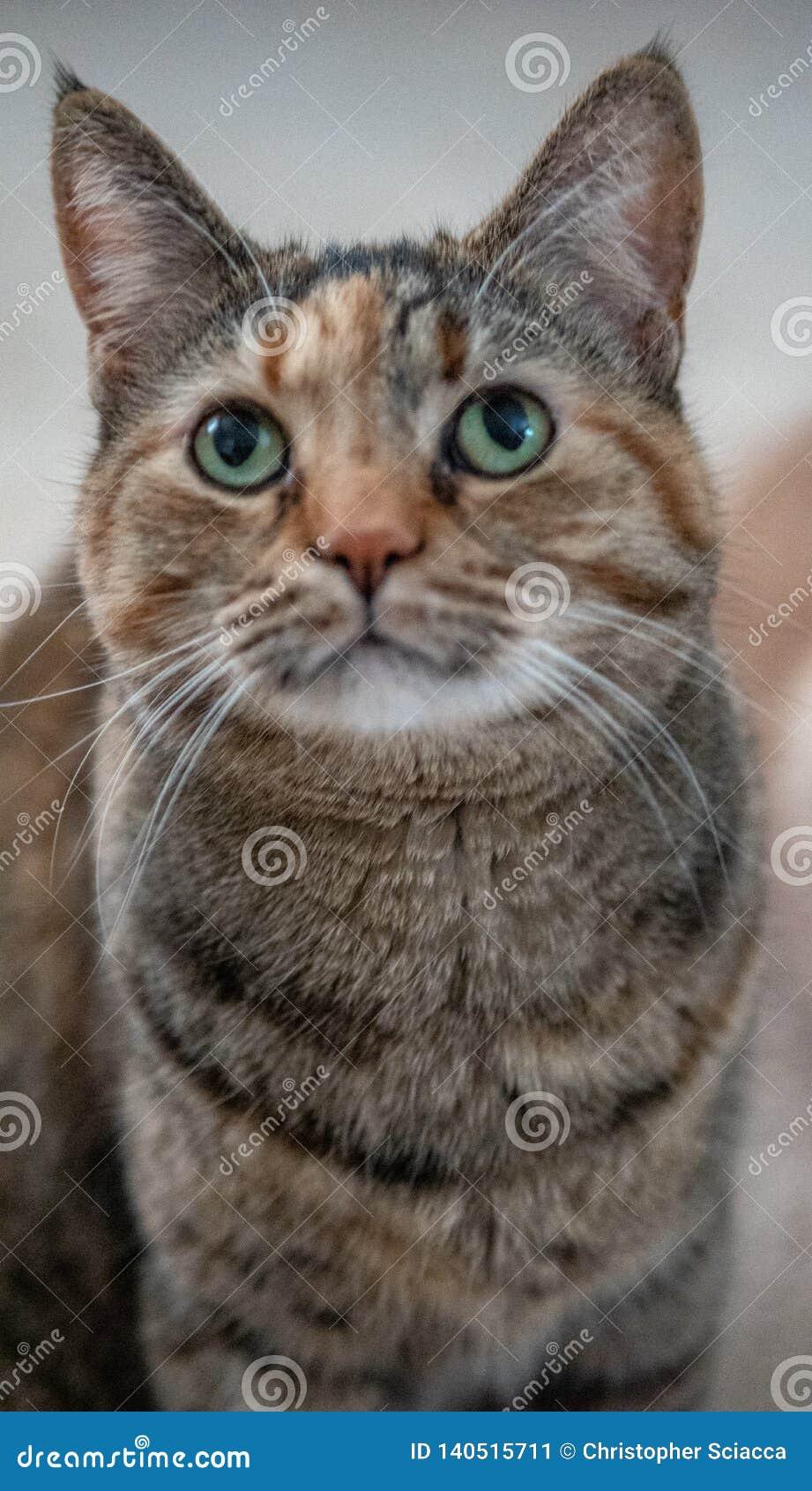 Chat domestique de Torbie d écaille avec le portrait ascendant de regard fixe