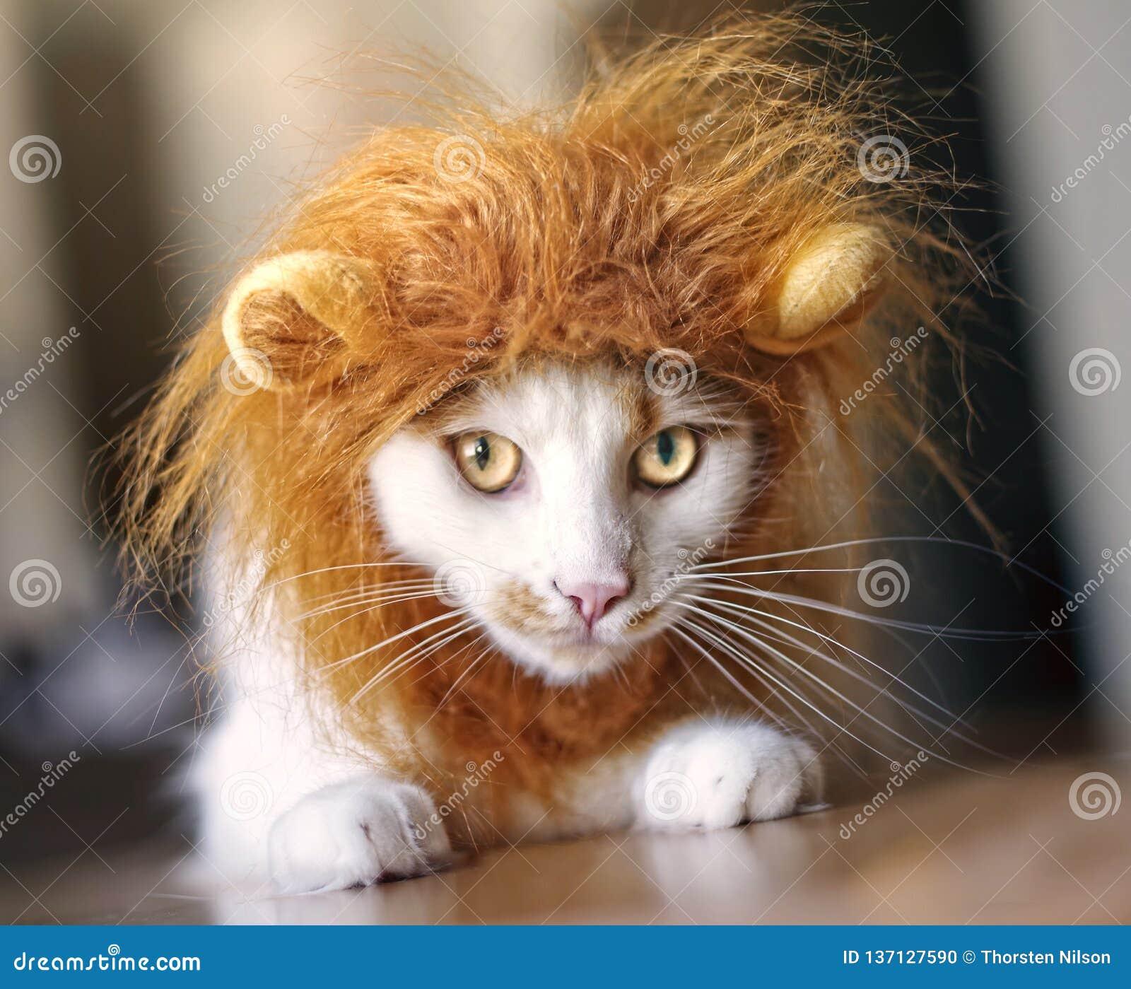Chat Drôle Habillé Vers Le Haut De Comme Un Lion Photo stock