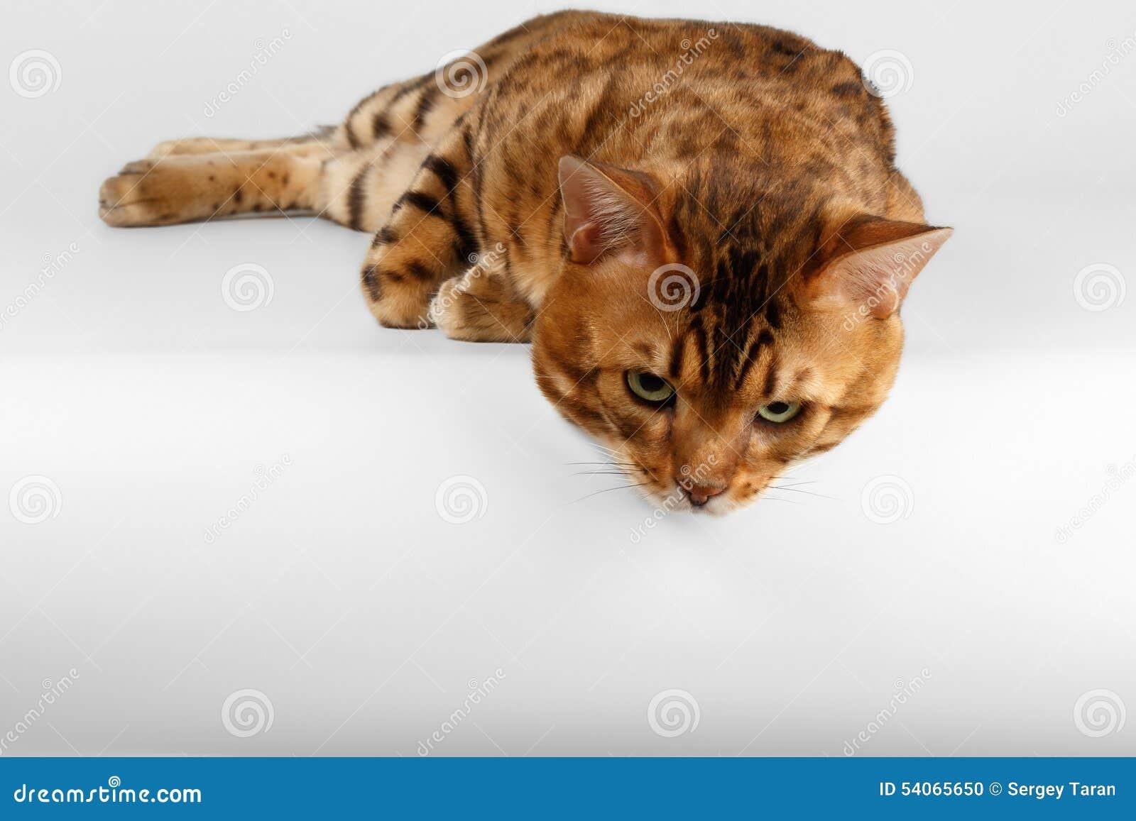 Chat du Bengale sur le fond blanc et regarder vers le bas