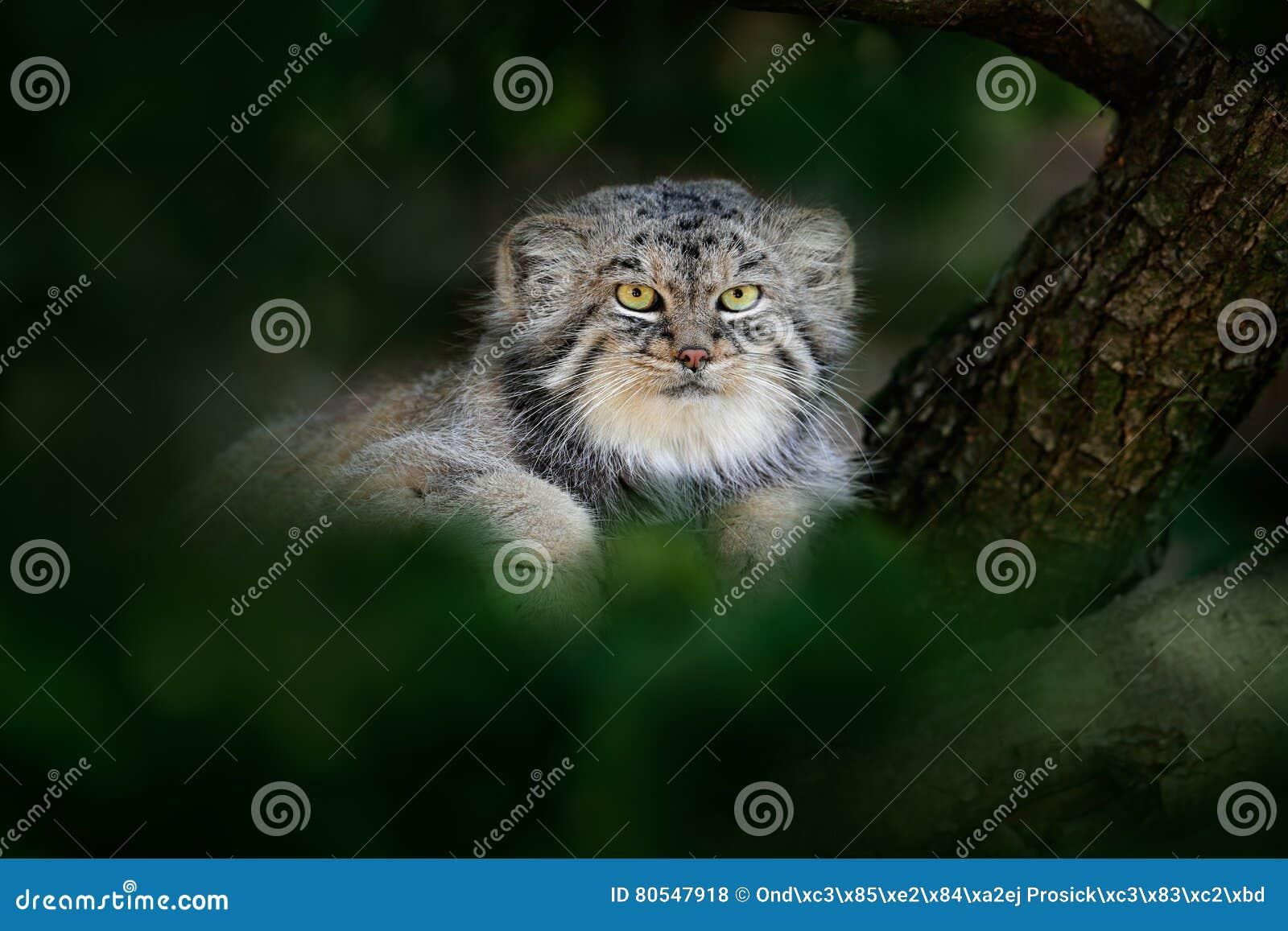 Chat du ` s de Pallas ou Manul, manul d Otocolobus, chat sauvage mignon d Asie Manul caché dans des feuilles vertes d arbre Scène