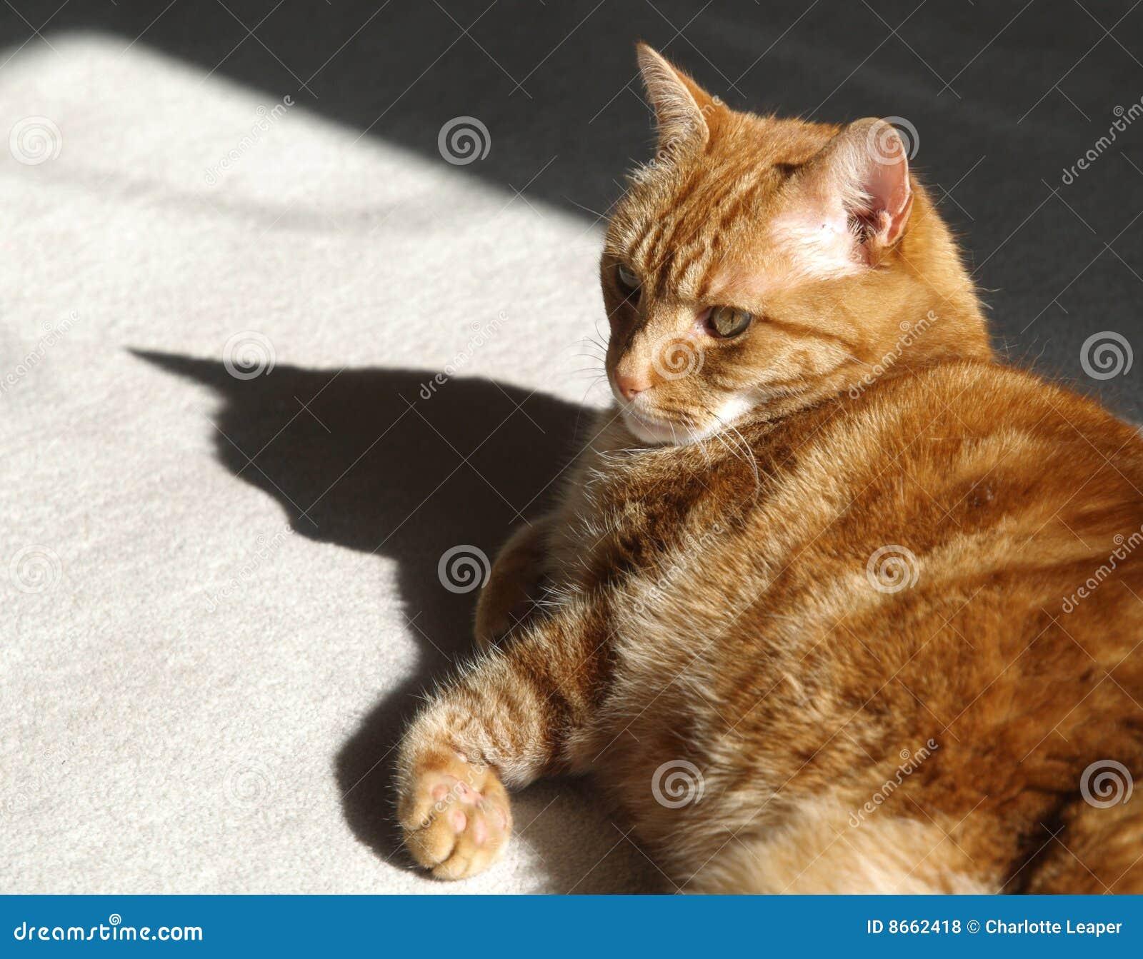Chat et ombre de gingembre