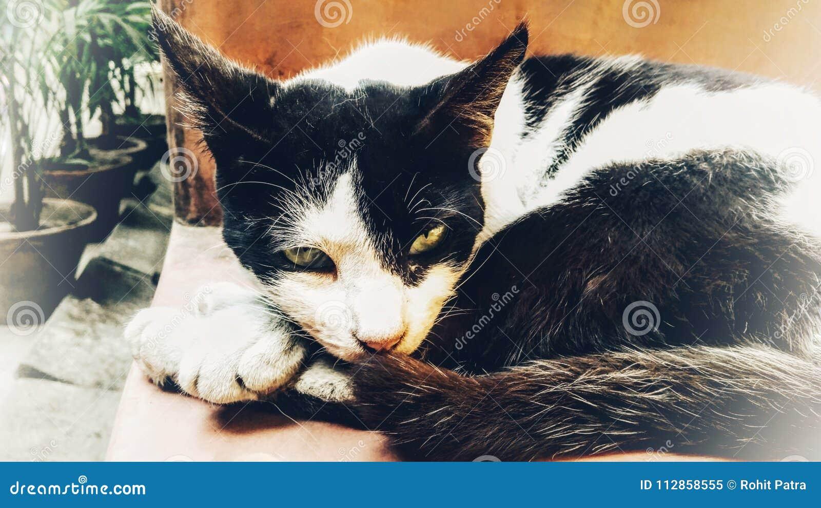 Chat Furieux chat furieux image stock. image du chat, furieux, cutest - 112858555