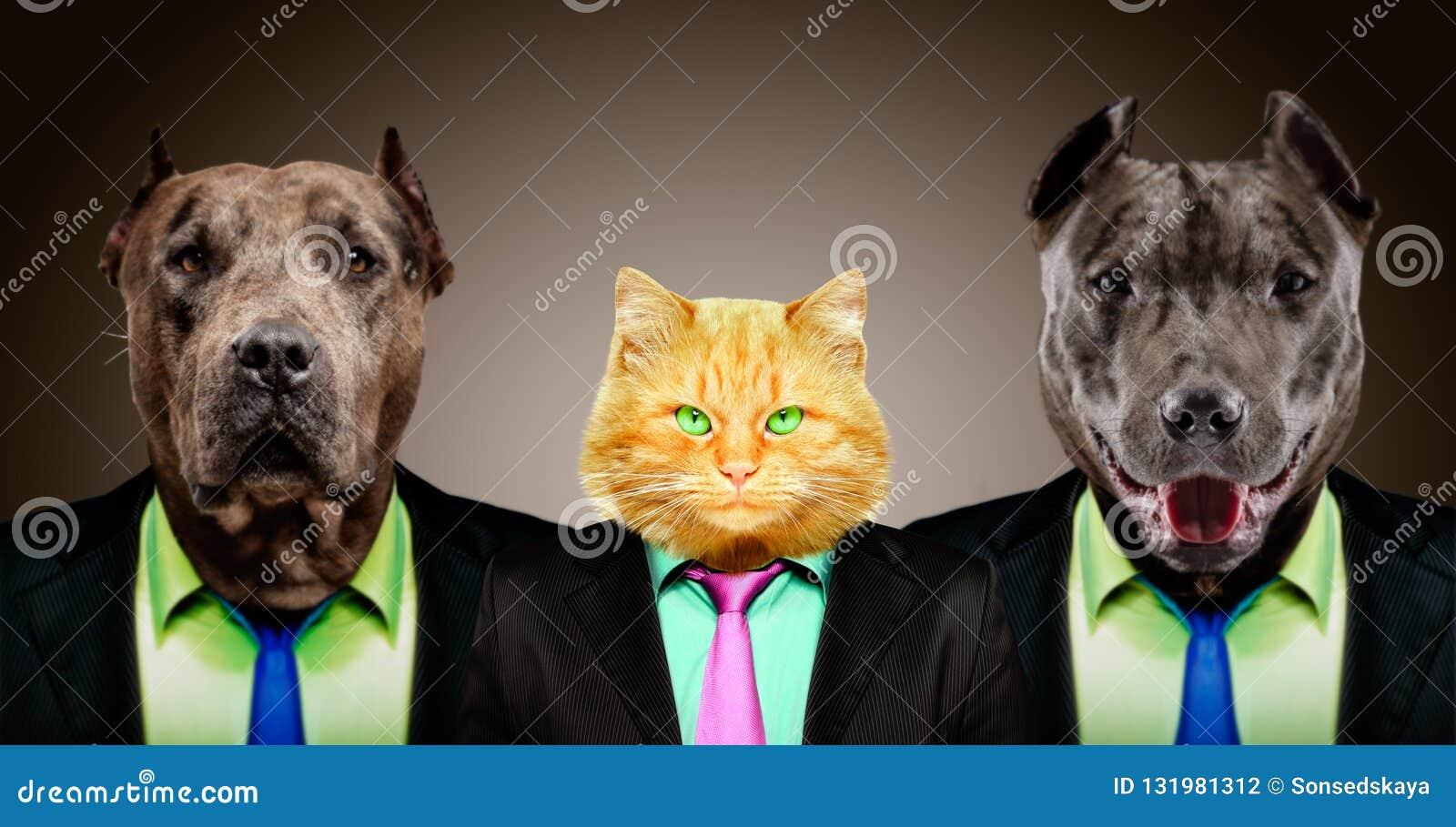 Chat gardé par deux pitbulls dans des costumes