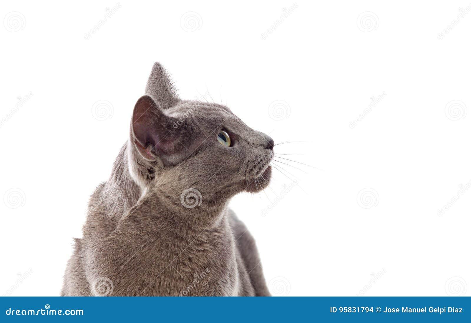 Chat gris adorable avec les yeux verts
