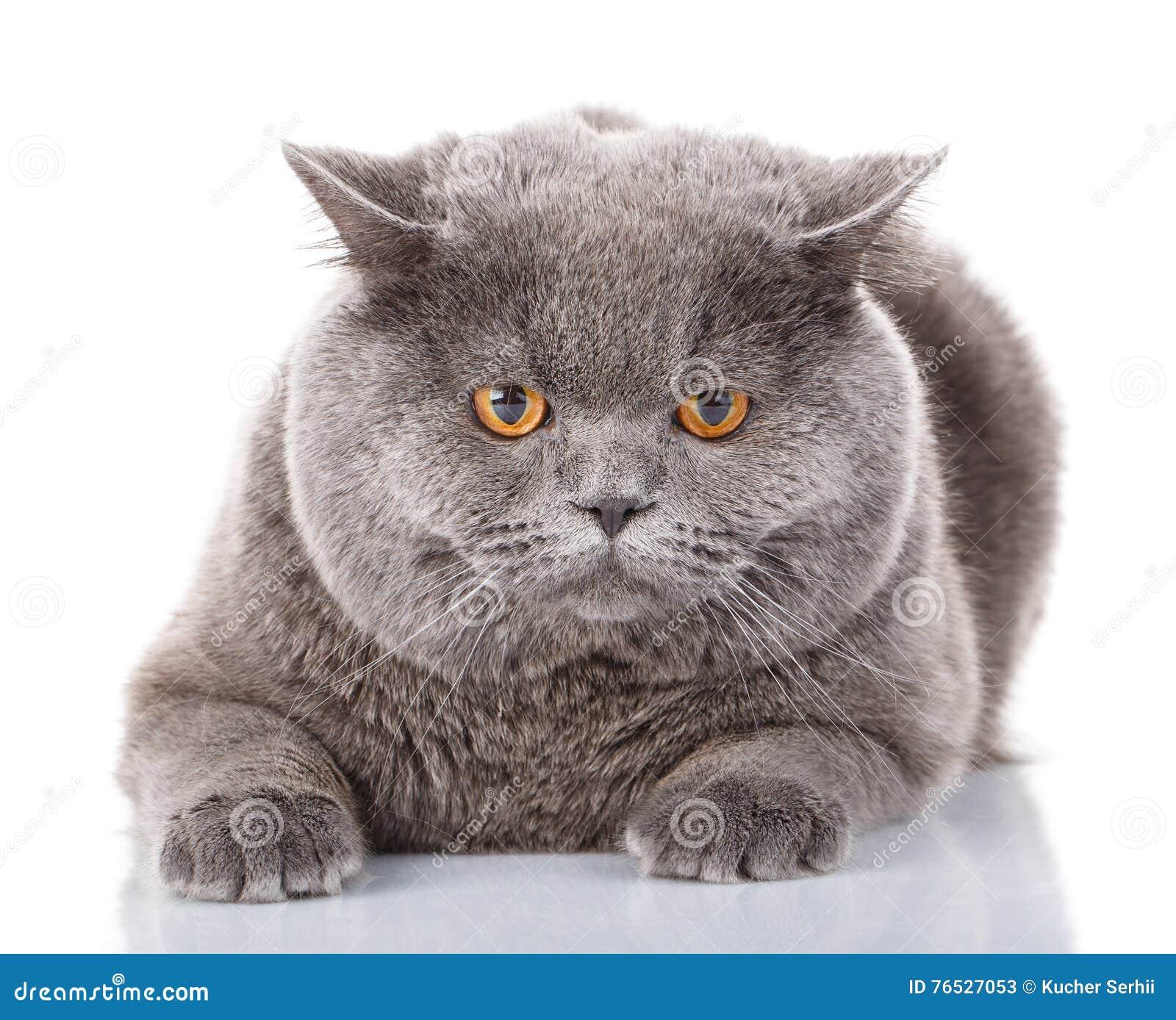 chat gris de portrait britannique directement avec les yeux jaunes sur le blanc image stock. Black Bedroom Furniture Sets. Home Design Ideas