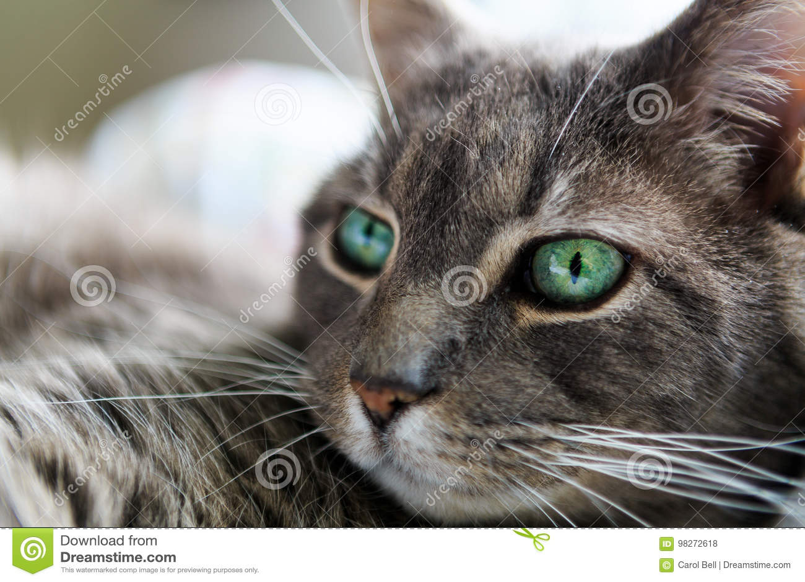 chat gris domestique de cheveux courts yeux verts avec. Black Bedroom Furniture Sets. Home Design Ideas