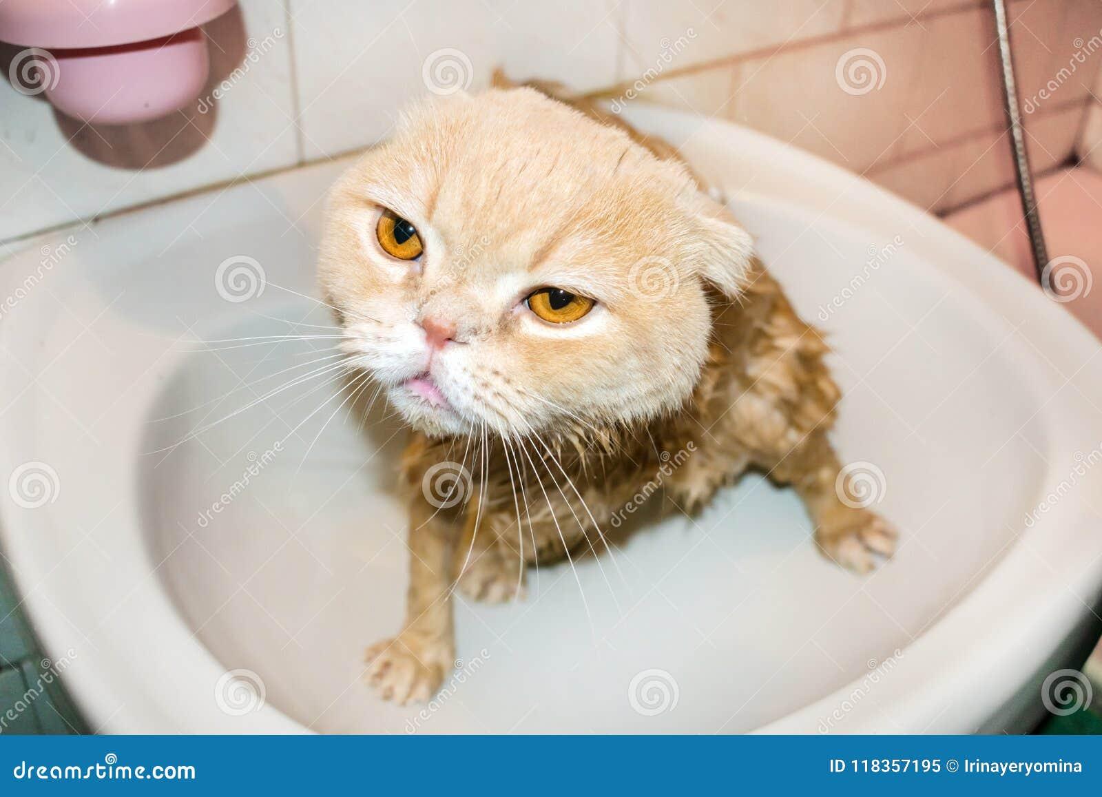 Chat humide de pli d écossais pendant se baigner Chat crème triste drôle avec f