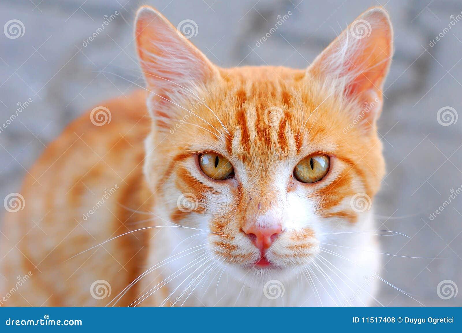 chat jaune photo stock image du yeux animal blanc 11517408. Black Bedroom Furniture Sets. Home Design Ideas