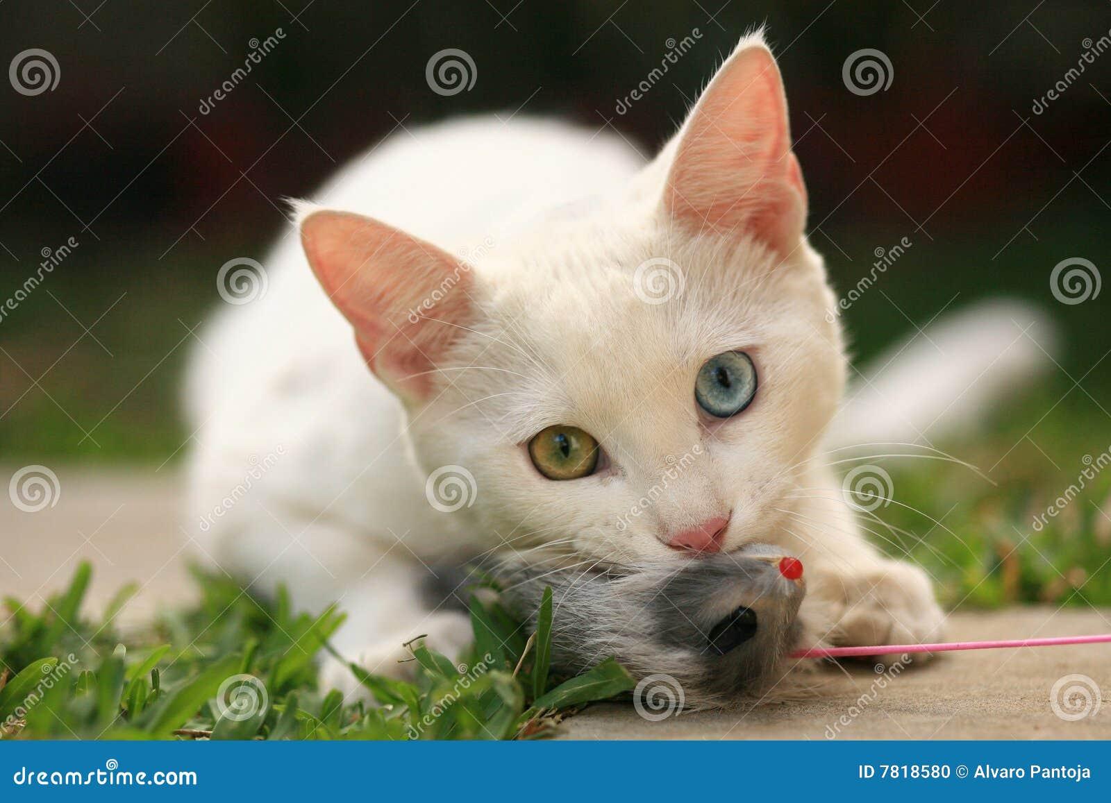 White Cat Rat Meme