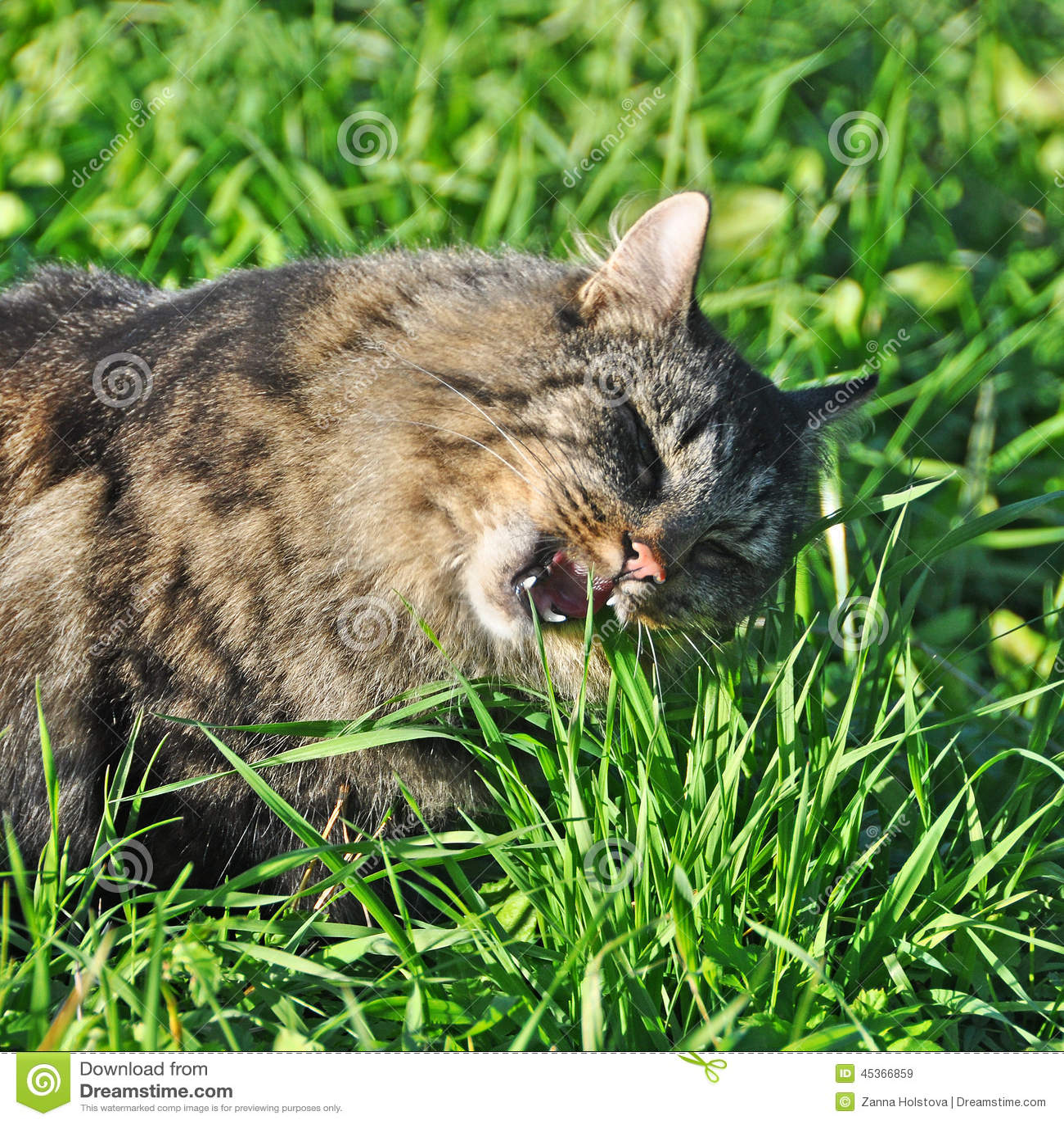 Chat mangeant l herbe