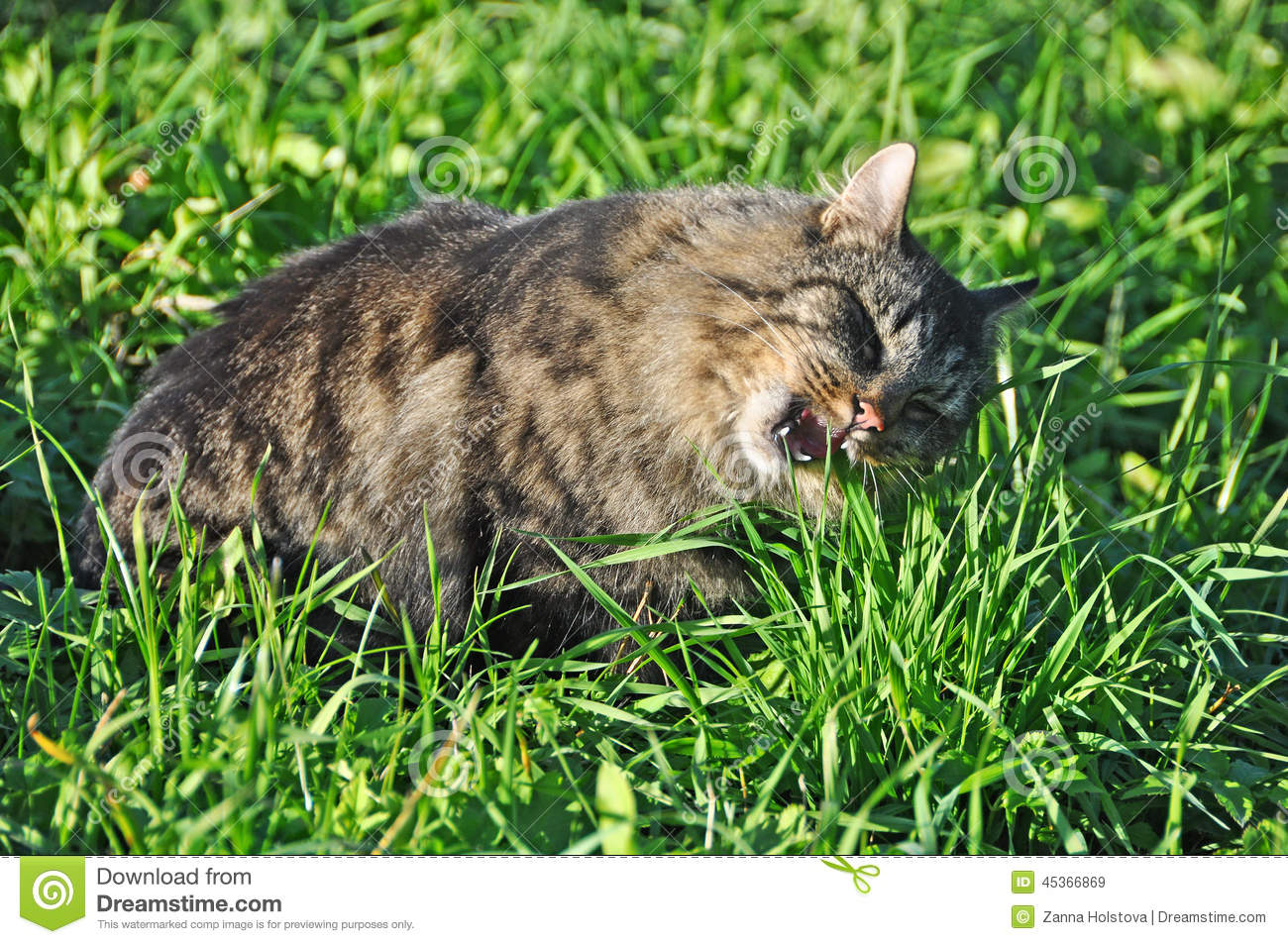 Chat mangeant l herbe