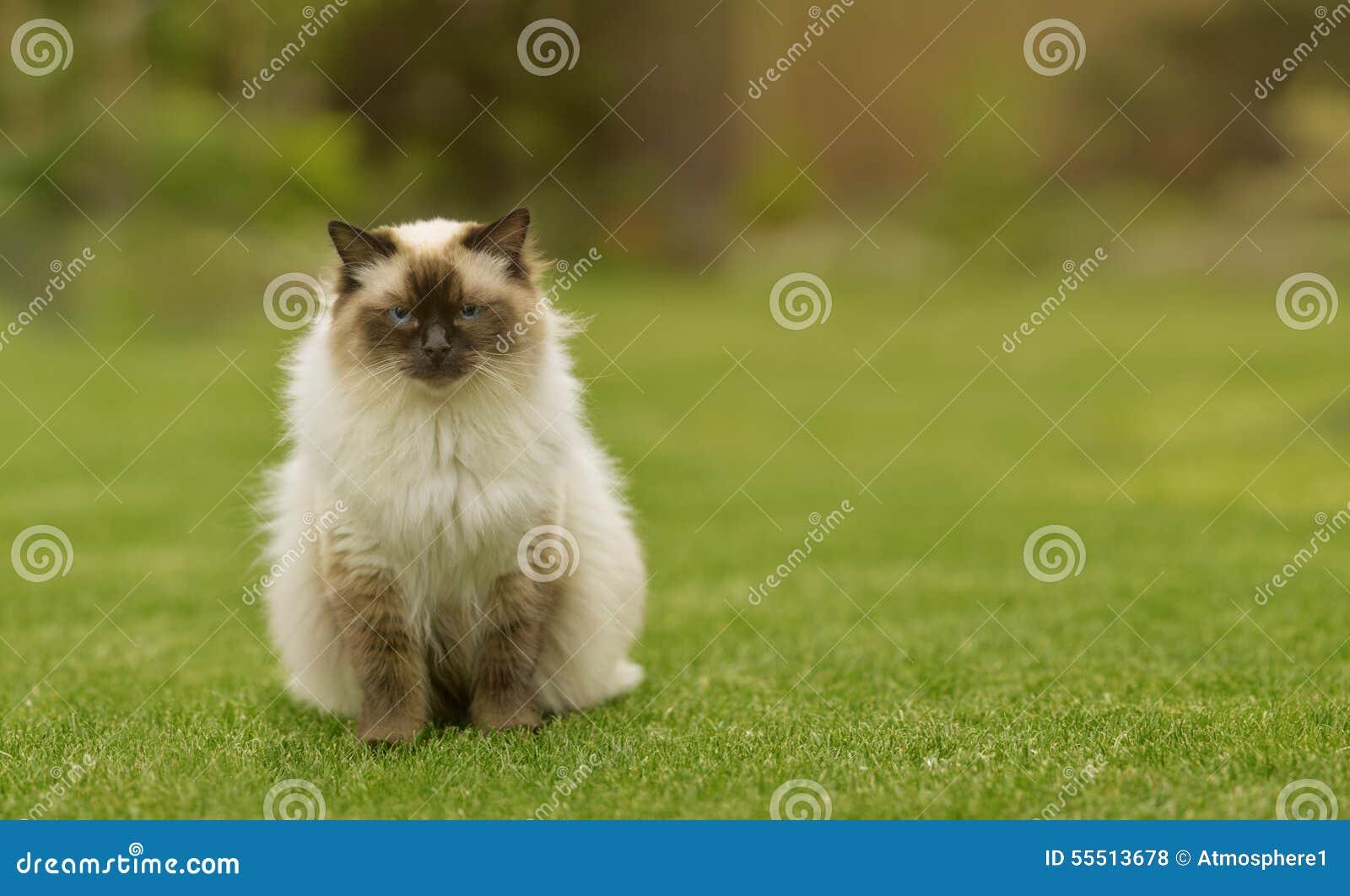 Chat mignon de minou de ragdoll avec des yeux bleus reposant tout droit l 39 herbe dans un jardin - Chat tout mignon ...