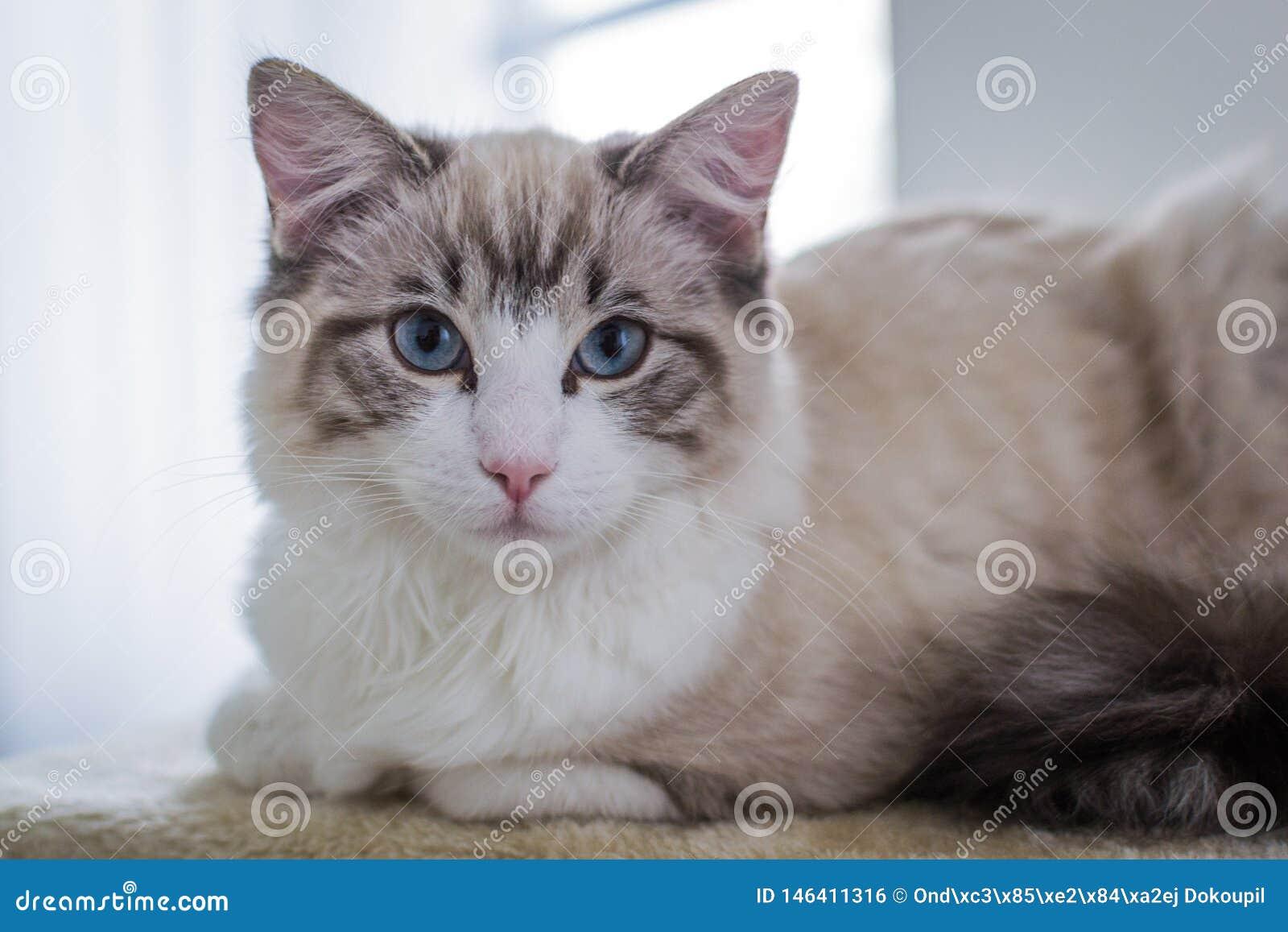 Chat mignon de Ragdoll d animal familier sur le scratcher