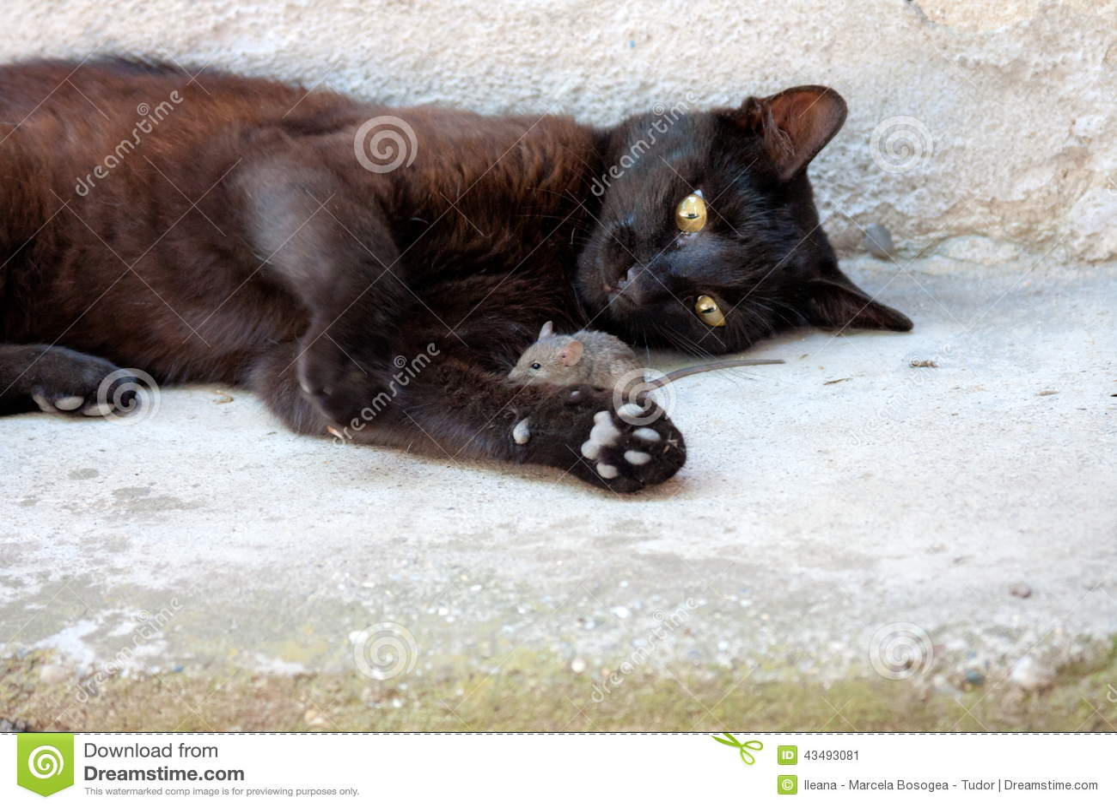 chat noir et souris dans un chasseur relation de proie image stock image du habitat. Black Bedroom Furniture Sets. Home Design Ideas