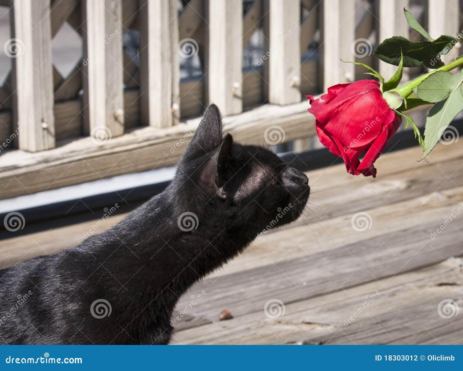 Chat noir et une rose