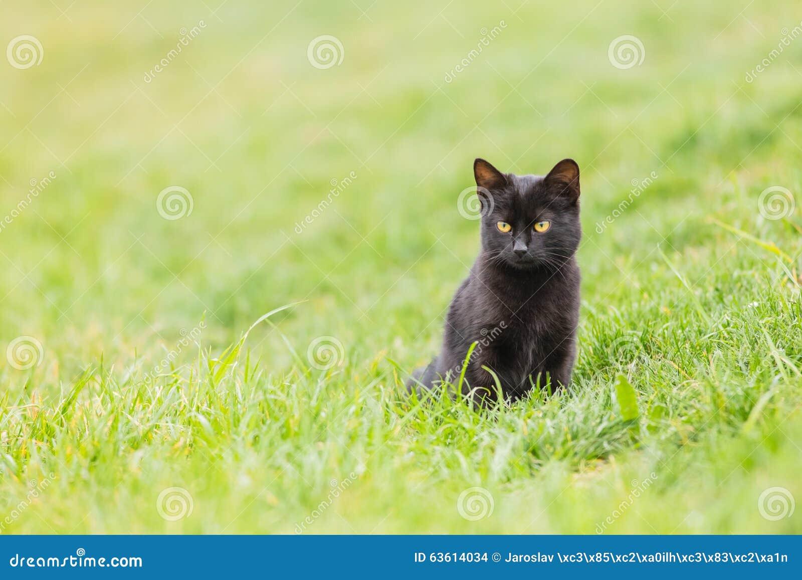 chat noir sur l 39 herbe verte photo stock image 63614034. Black Bedroom Furniture Sets. Home Design Ideas