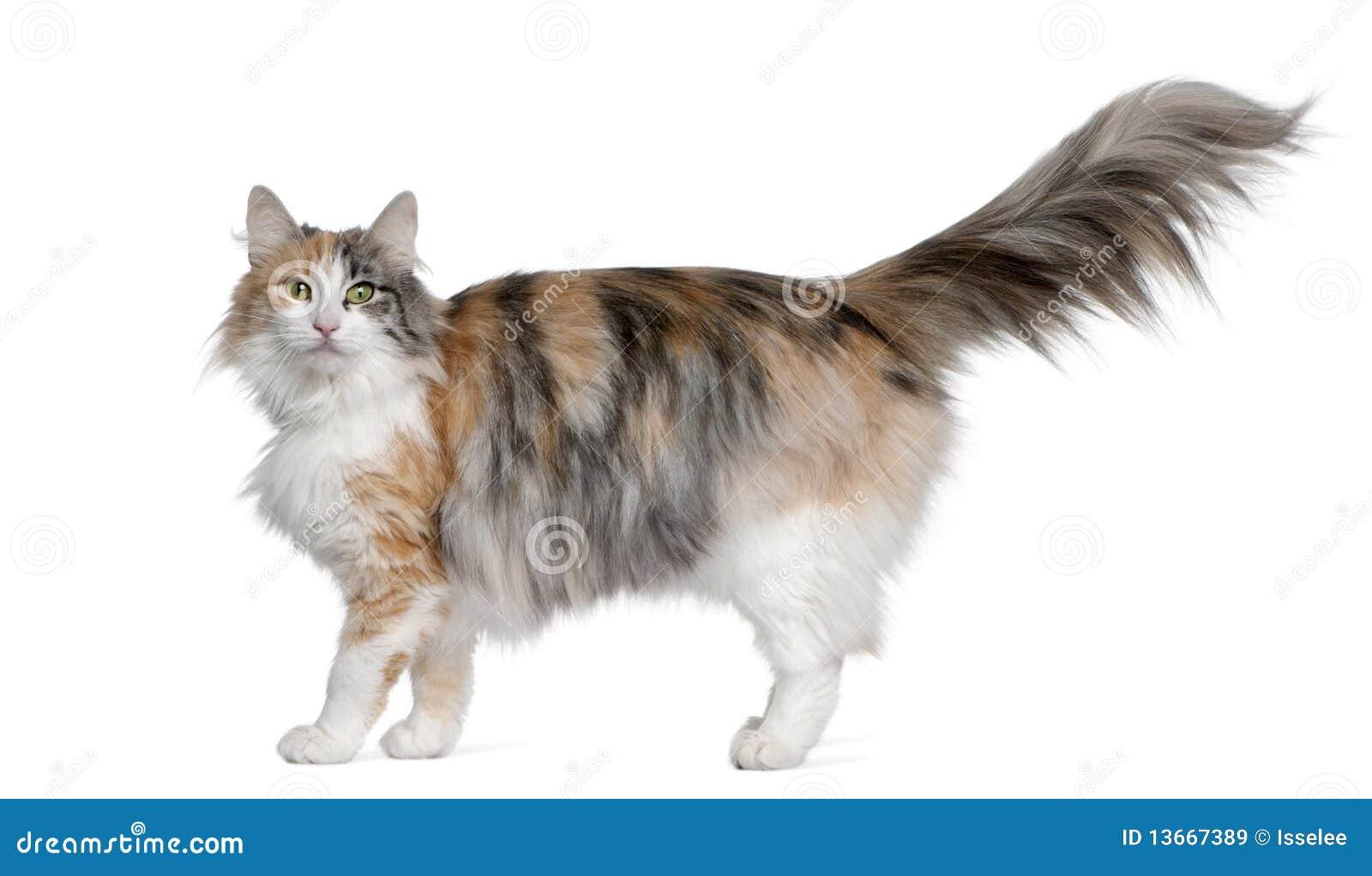 Chat norvégien de forêt, 3 années