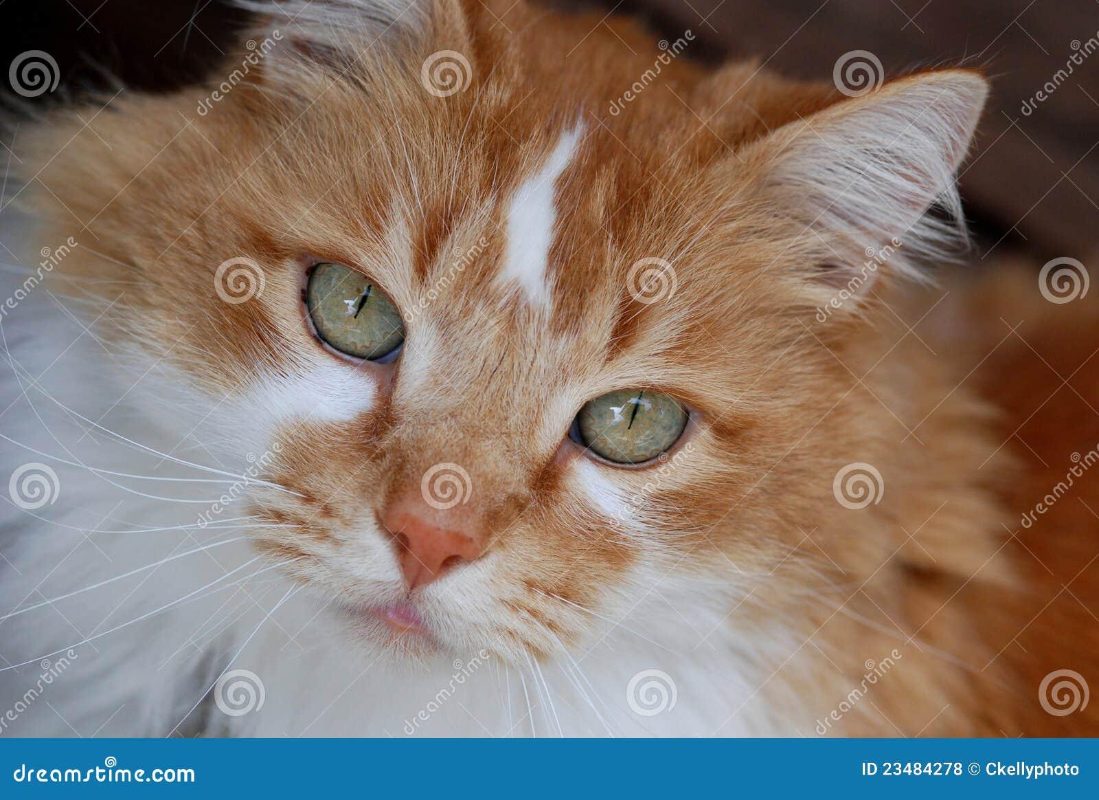 chat orange et blanc fin vers le haut photos libres de