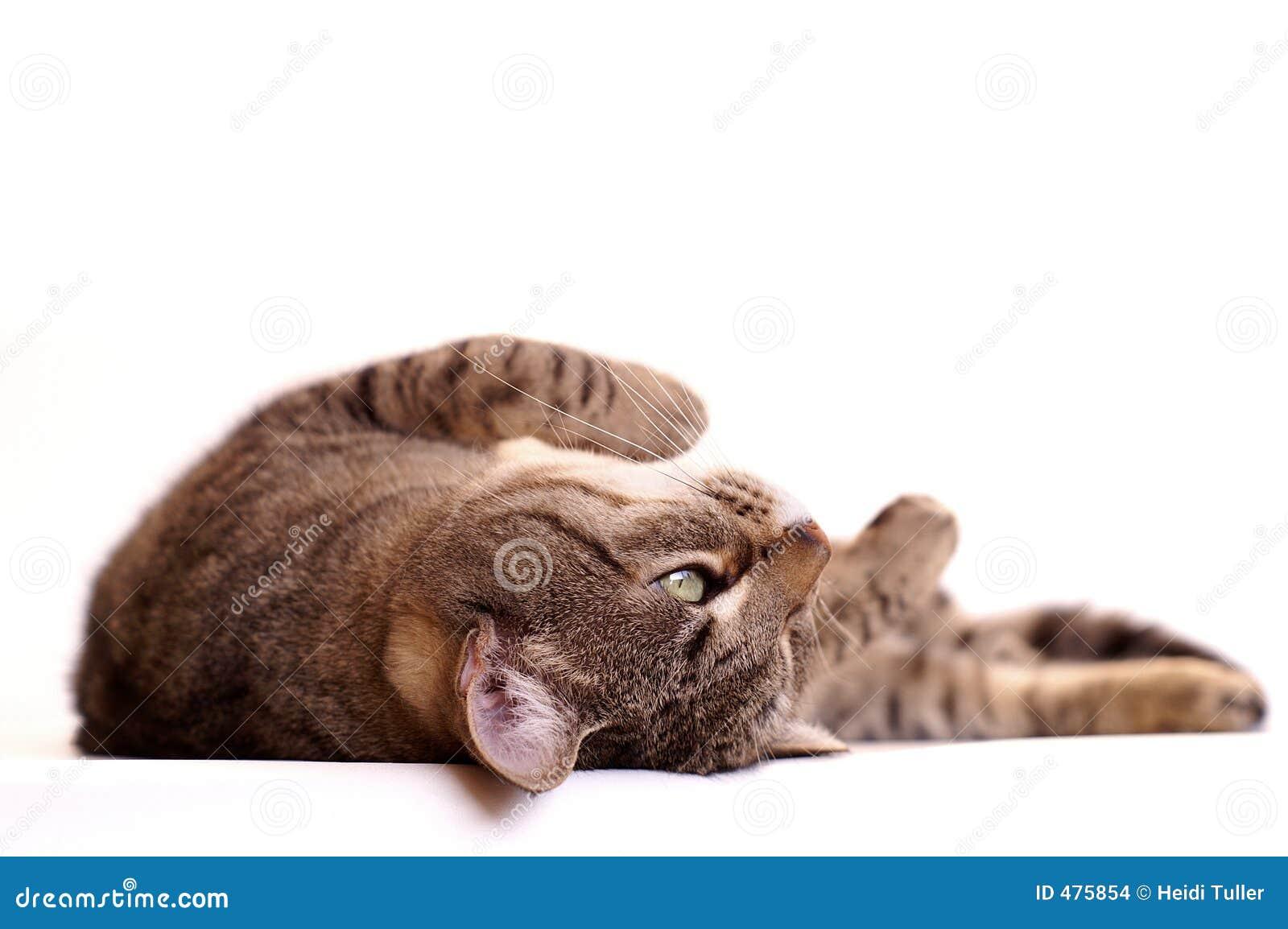 Chat paresseux rêvassant