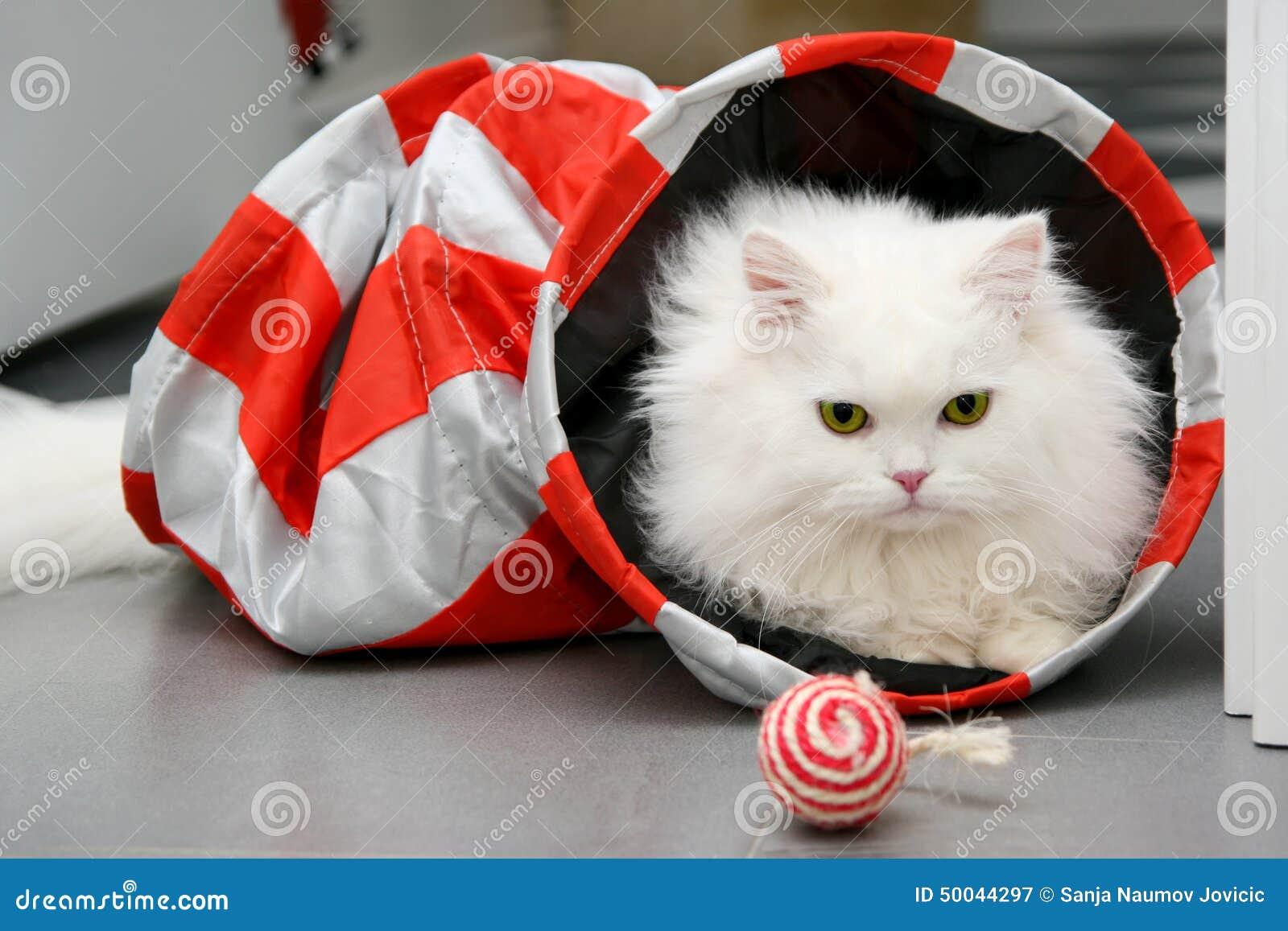 Chat persan blanc jouant avec des jouets