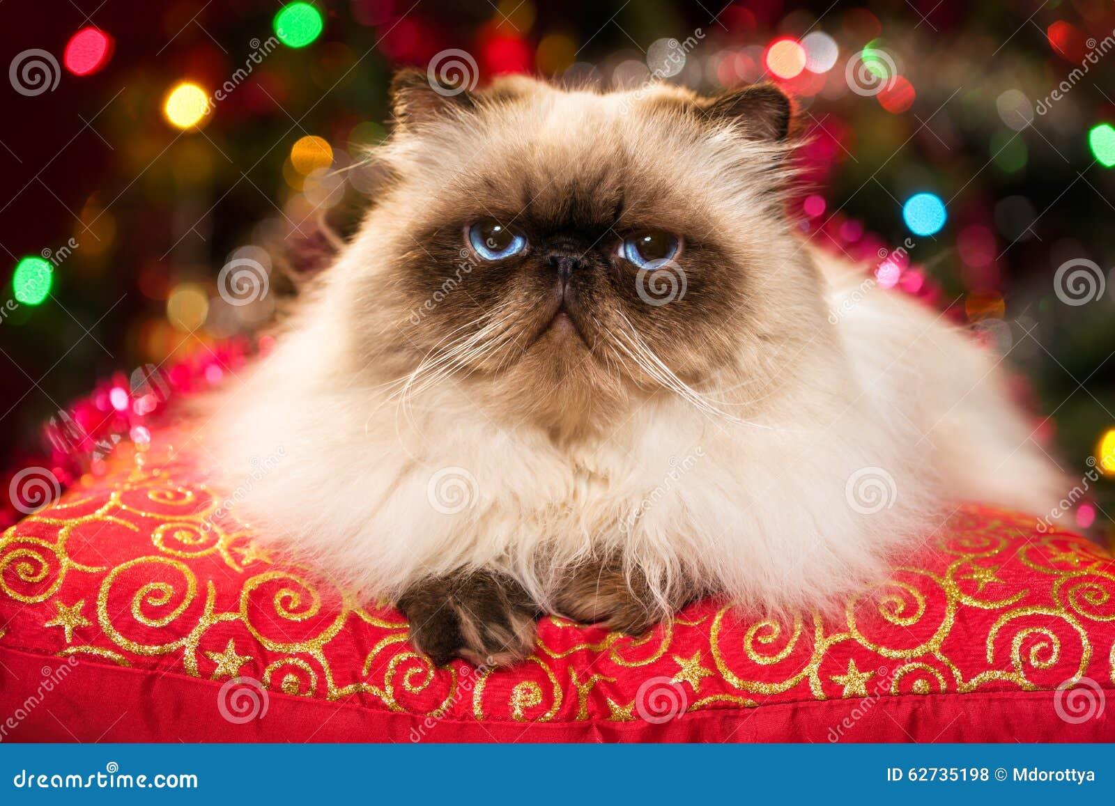 Chat persan drôle se trouvant sur un coussin de Noël avec le bokeh