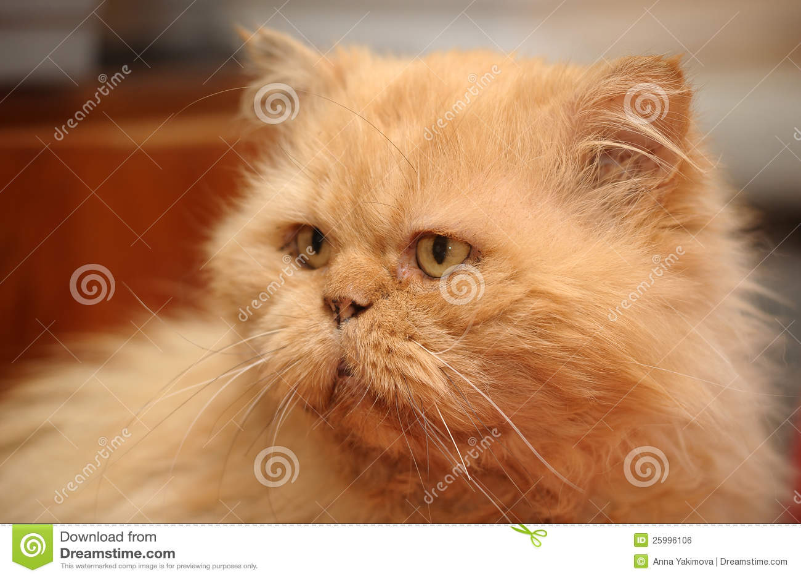 chat persan roux photo stock image du pedigreed aimer 25996106. Black Bedroom Furniture Sets. Home Design Ideas