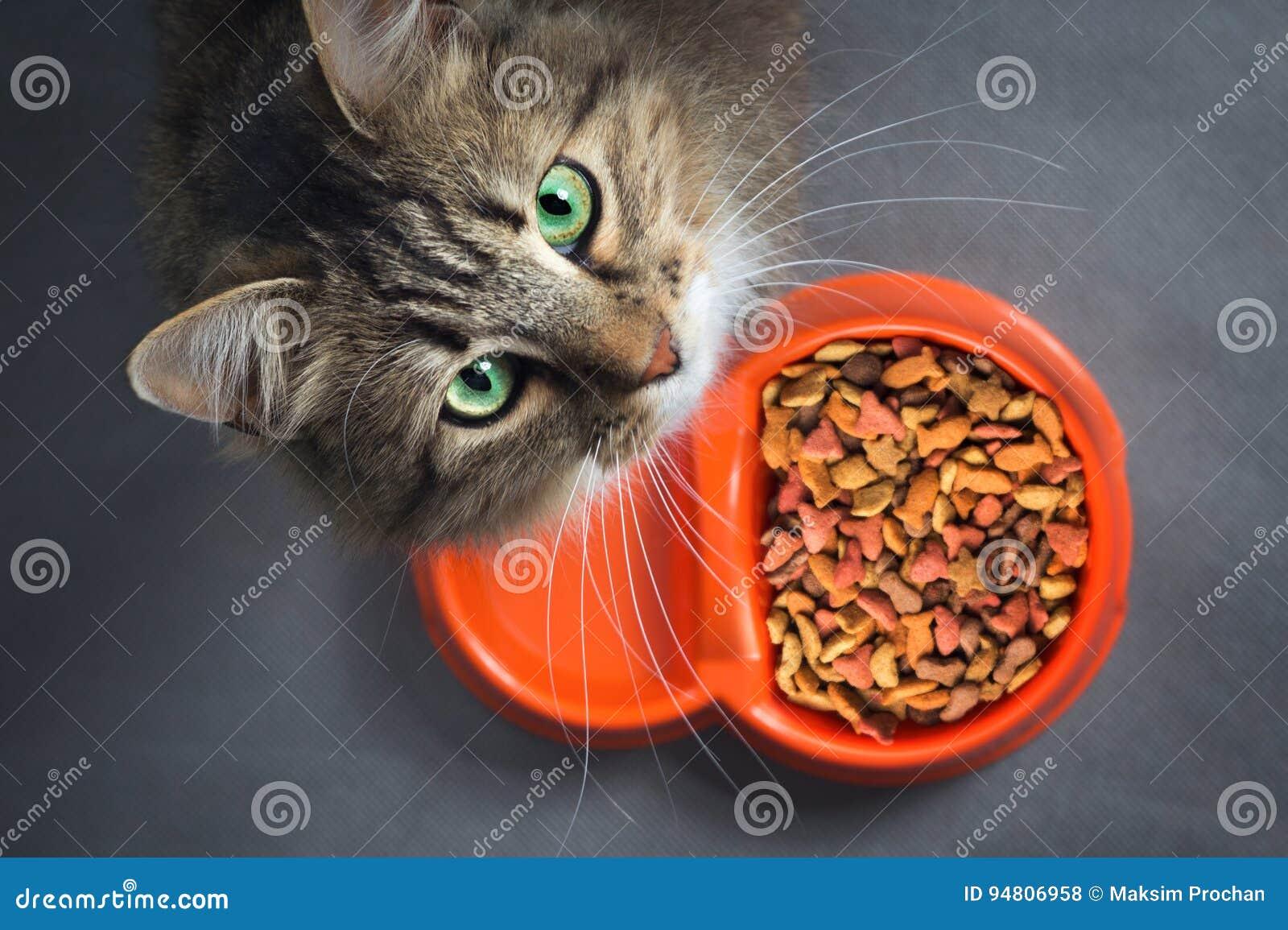 Chat près d une cuvette avec la nourriture recherchant