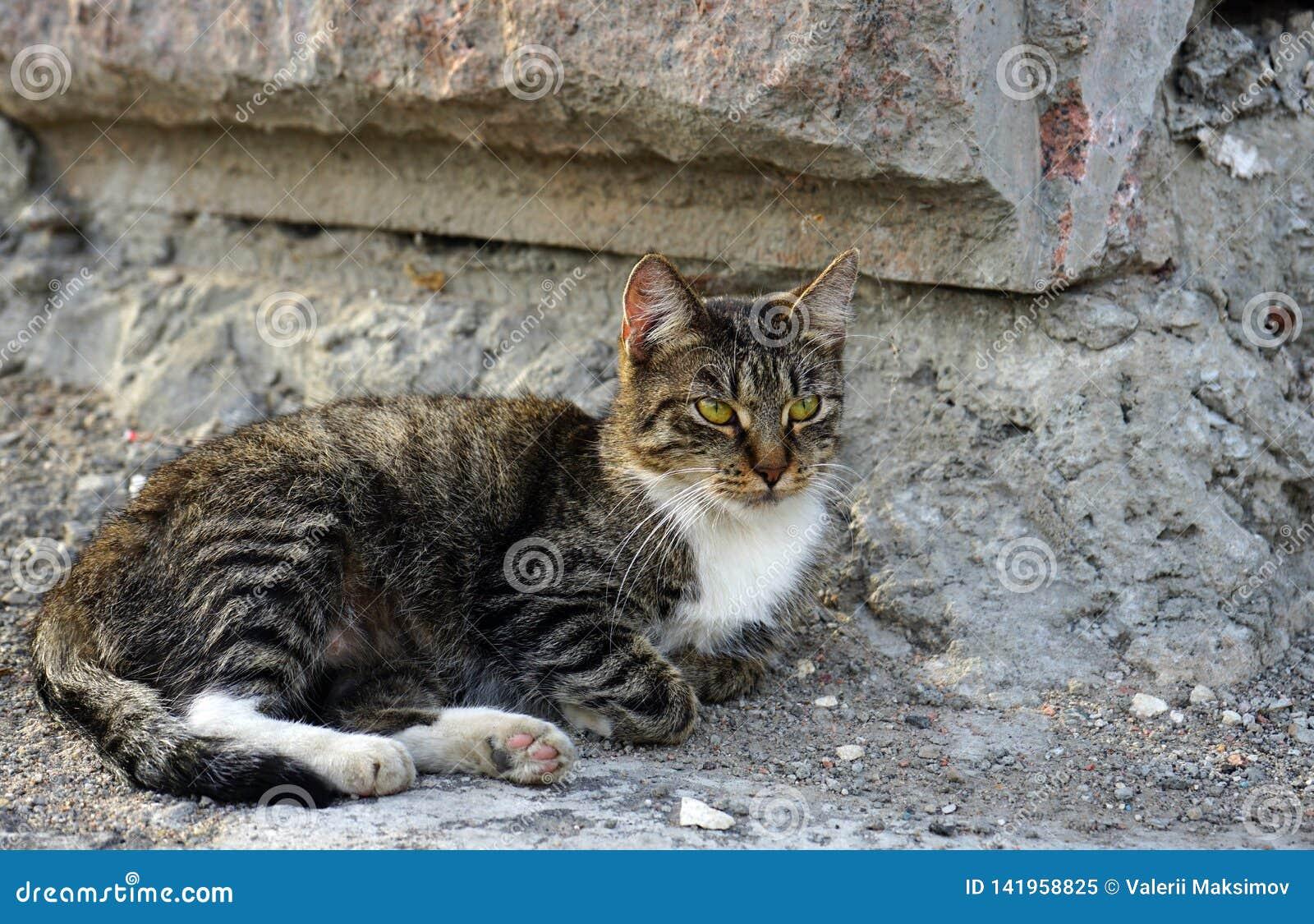 Chat rayé gris sur un fond de mur en pierre