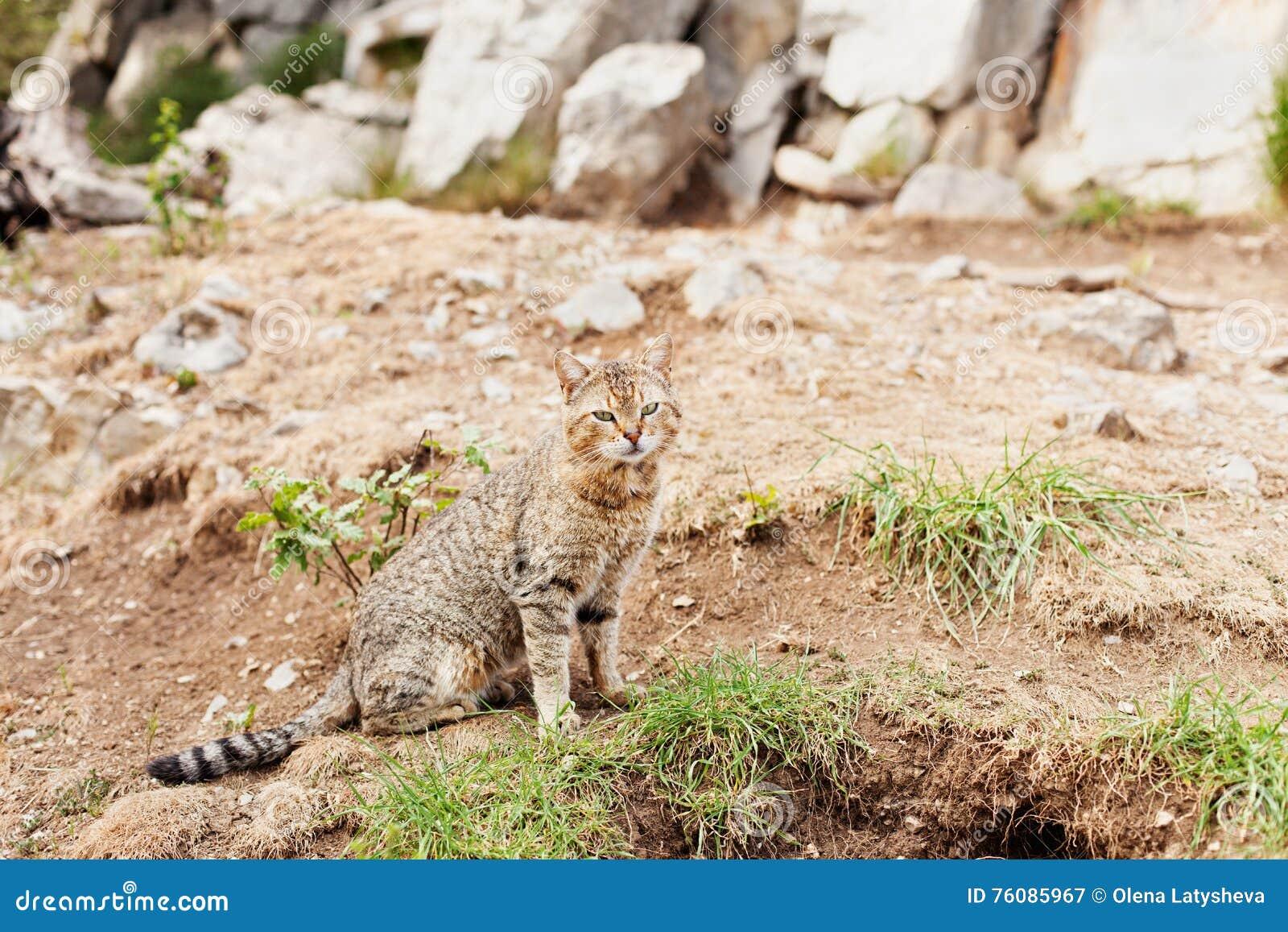 Chat rayé se reposant dehors sur la terre rocheuse