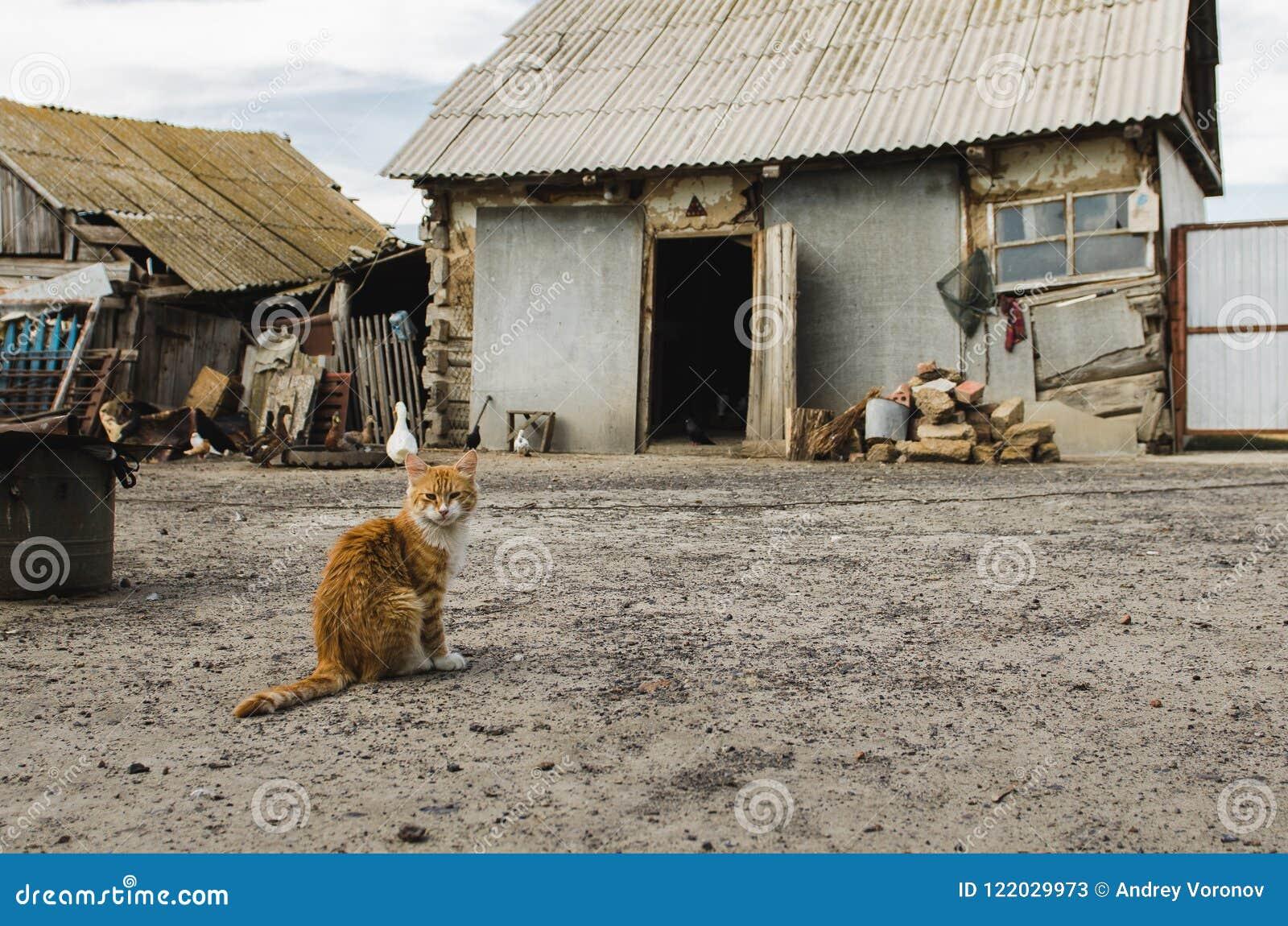 Chat rouge dans une cour de bétail dans un village avec de vieilles maisons détruites