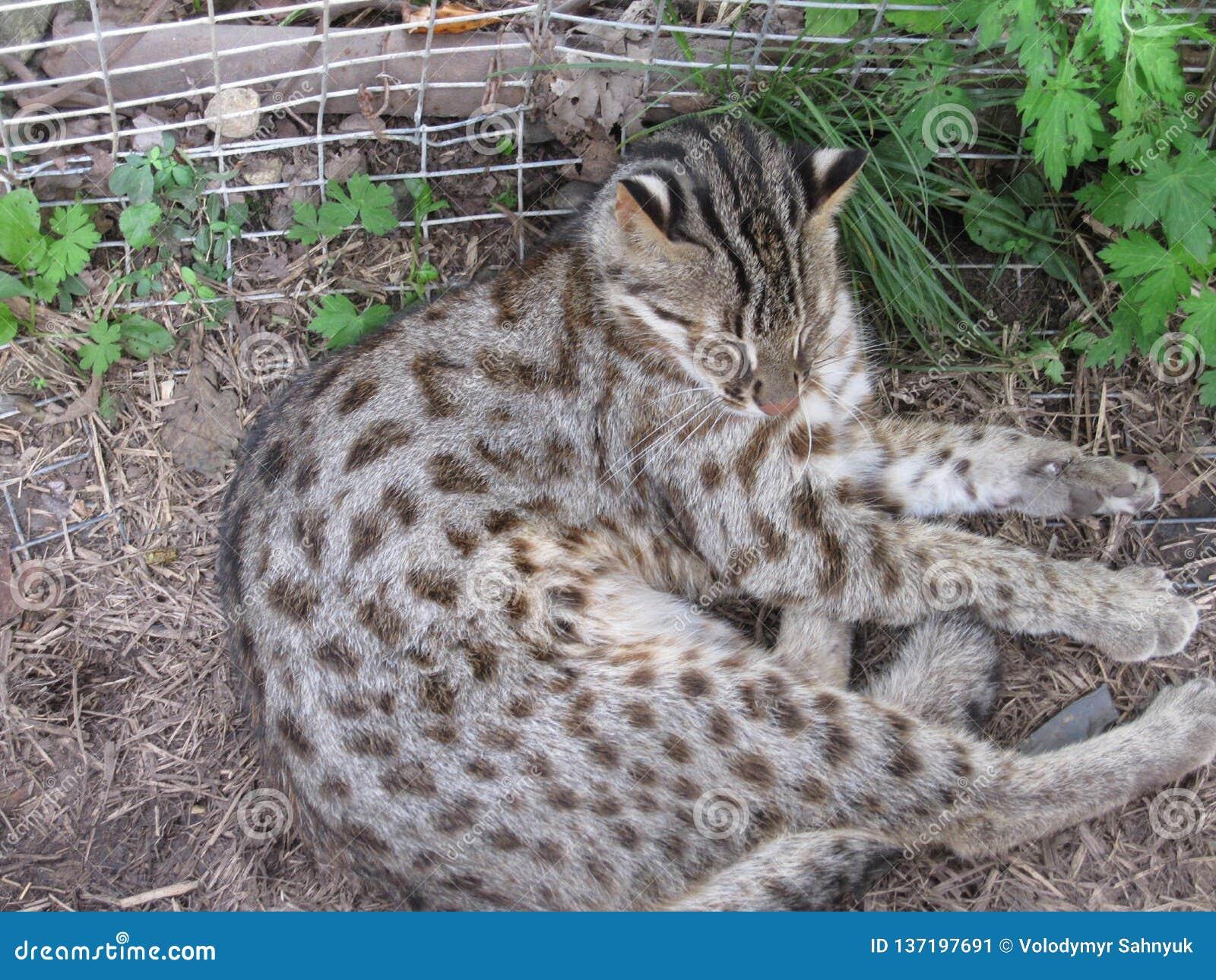 Chat sauvage dans une cage de zoo