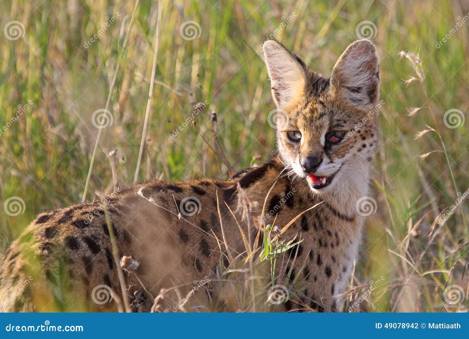 Chat sauvage de serval dans la savane de serengeti tanzanie photo stock image du fourrure - Felin de la savane ...