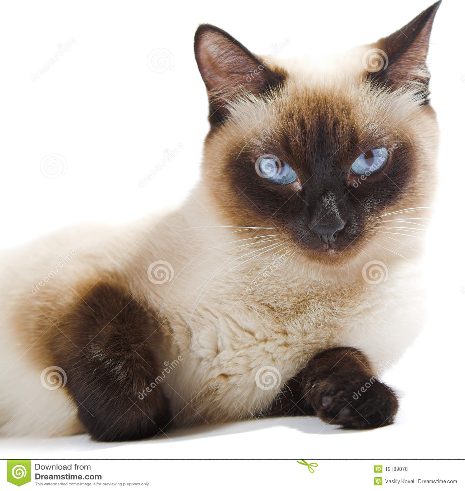 chat siamois photo stock image du facial minou animal 19189070. Black Bedroom Furniture Sets. Home Design Ideas