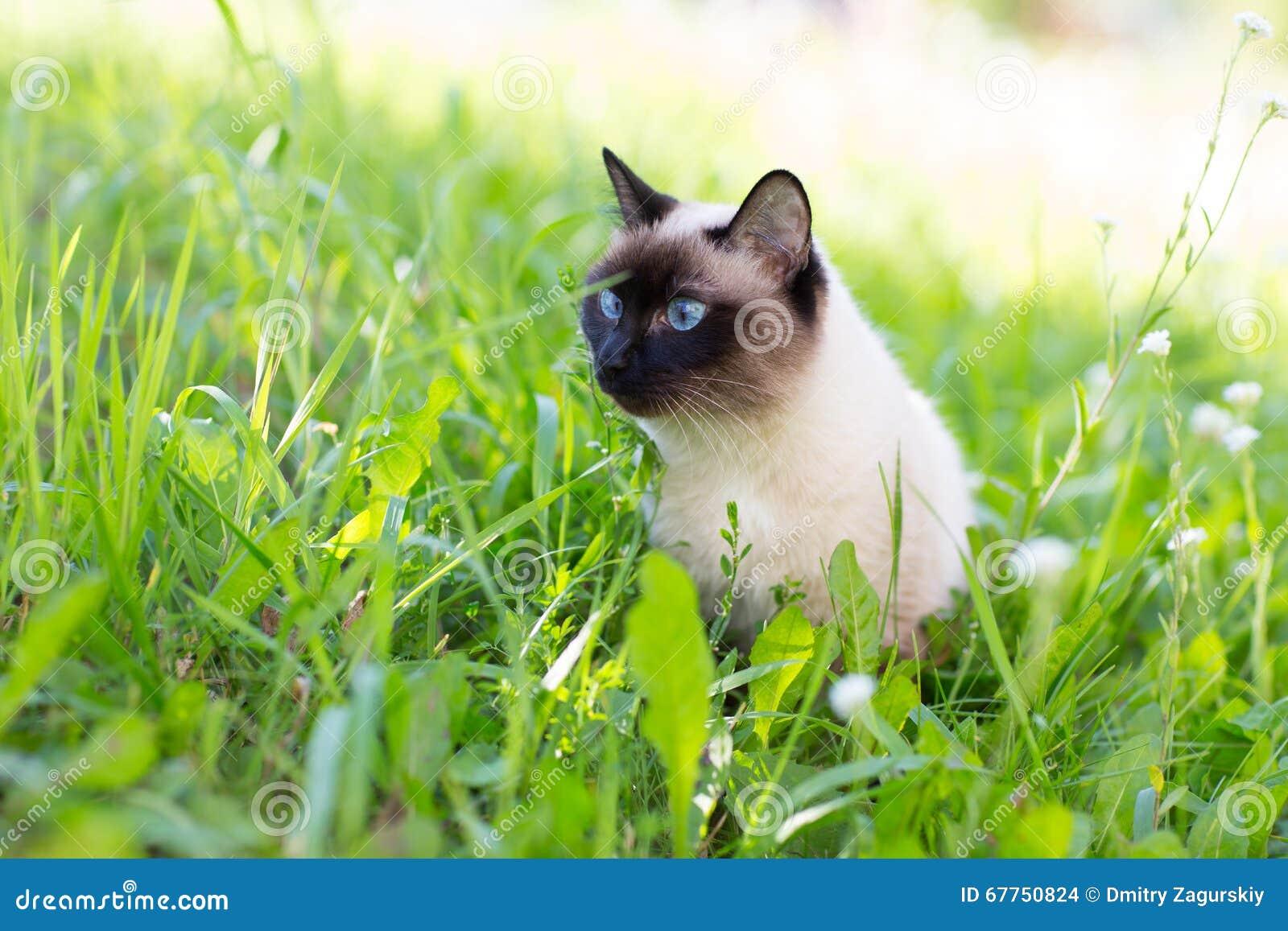 Chat siamois dans l herbe