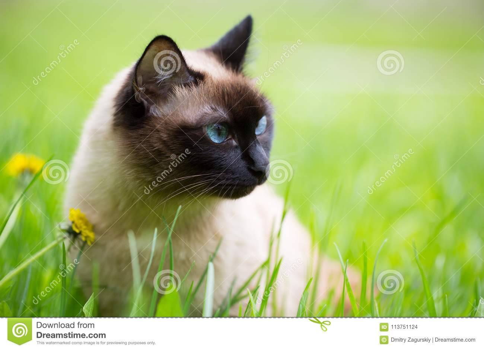 Chat siamois dans l herbe avec des yeux bleus