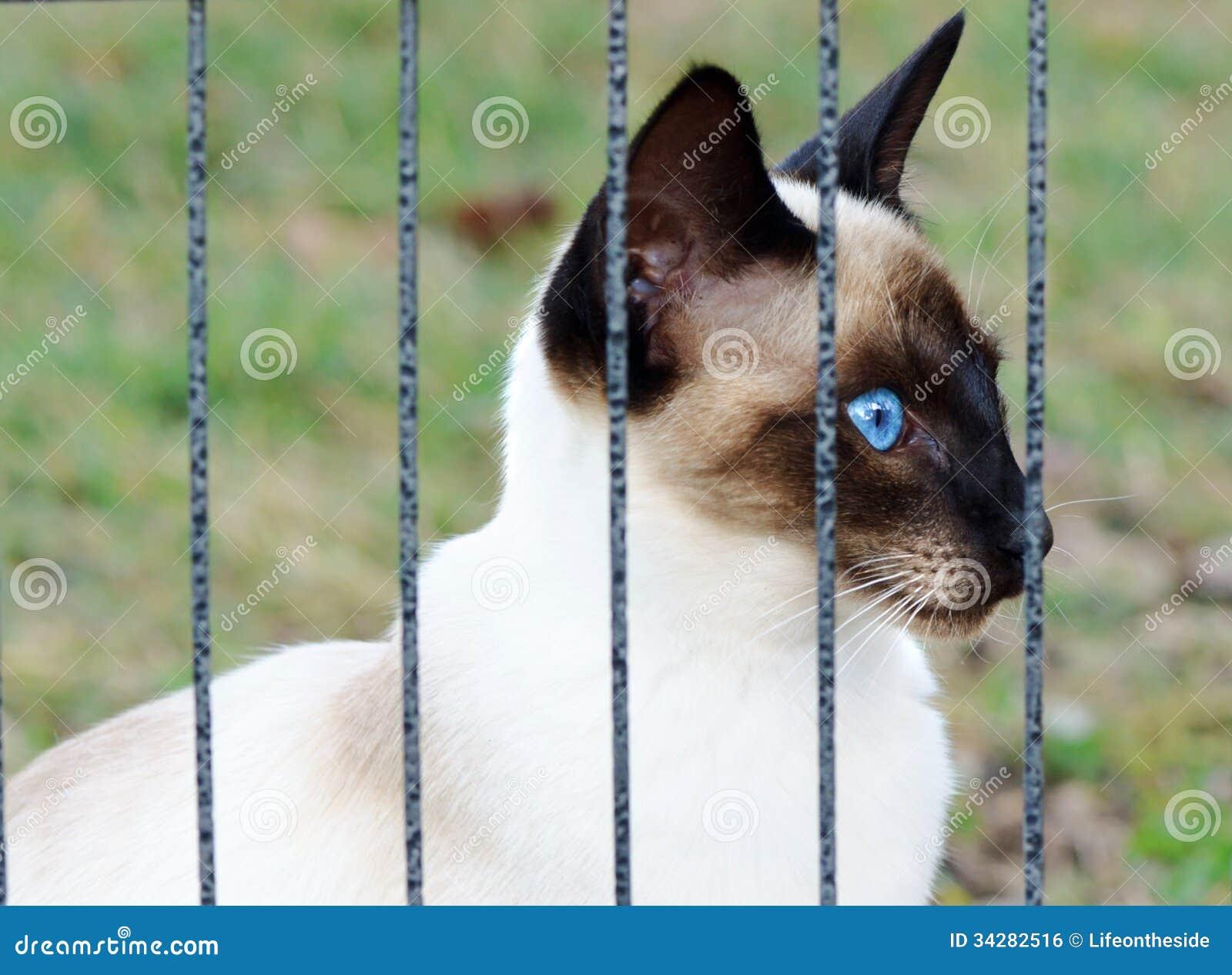 chat siamois dans une cage regardant par des barres photo stock image 34282516. Black Bedroom Furniture Sets. Home Design Ideas