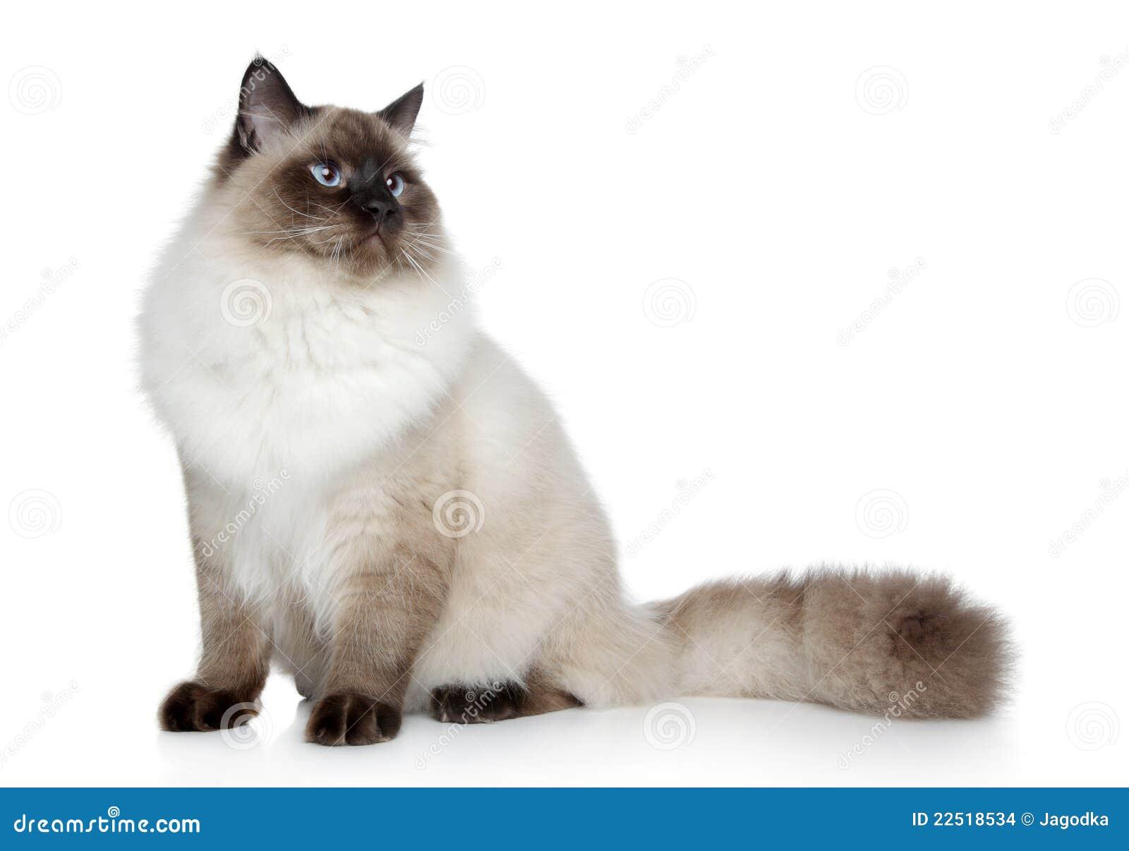 chat siamois posant sur un fond blanc photo stock image du brun verticale 22518534. Black Bedroom Furniture Sets. Home Design Ideas