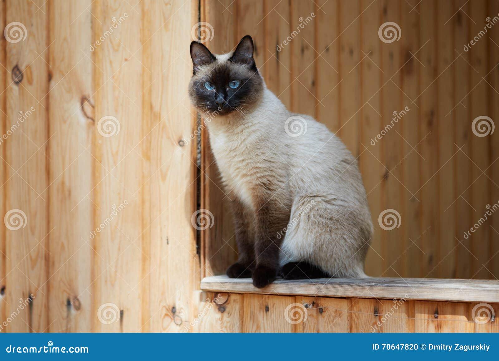 Chat siamois se reposant sur la balustrade d une maison en bois