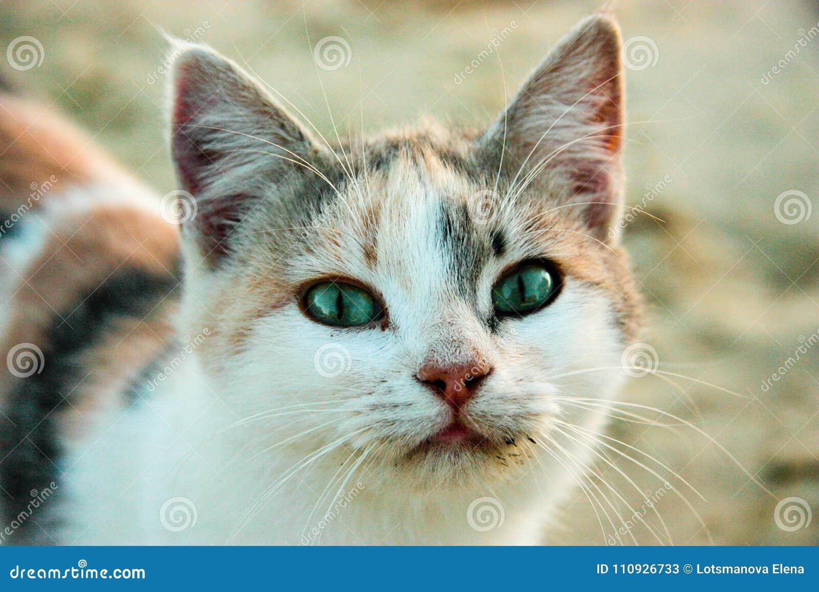 Chat solitaire tricolore