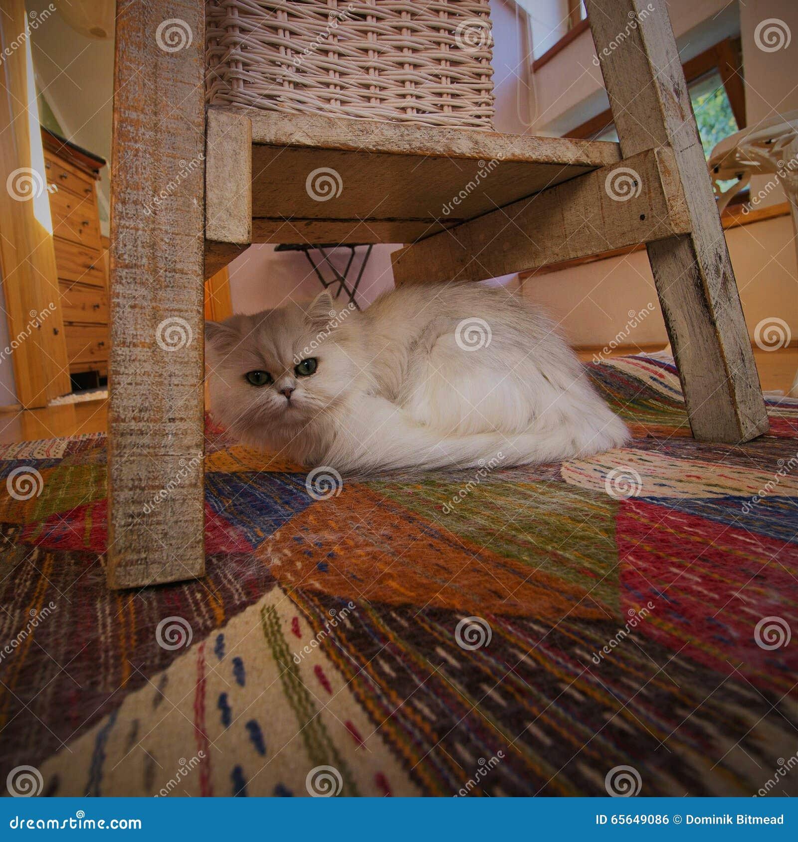 Chat sous la chaise