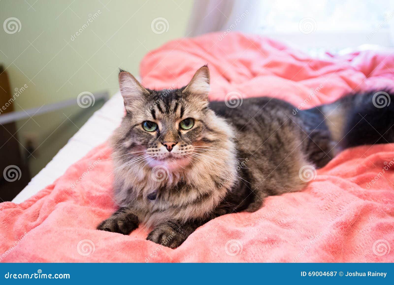 chat sur le lit avec la couverture rose image stock image du reste pets 69004687. Black Bedroom Furniture Sets. Home Design Ideas