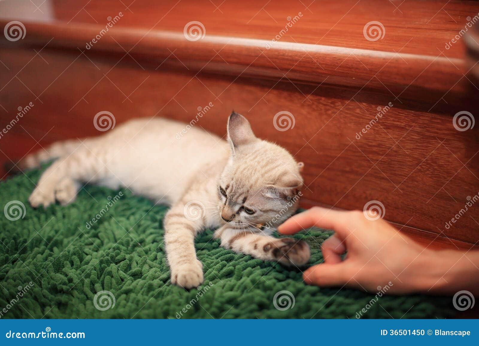 Chat teasted par les doigts humains