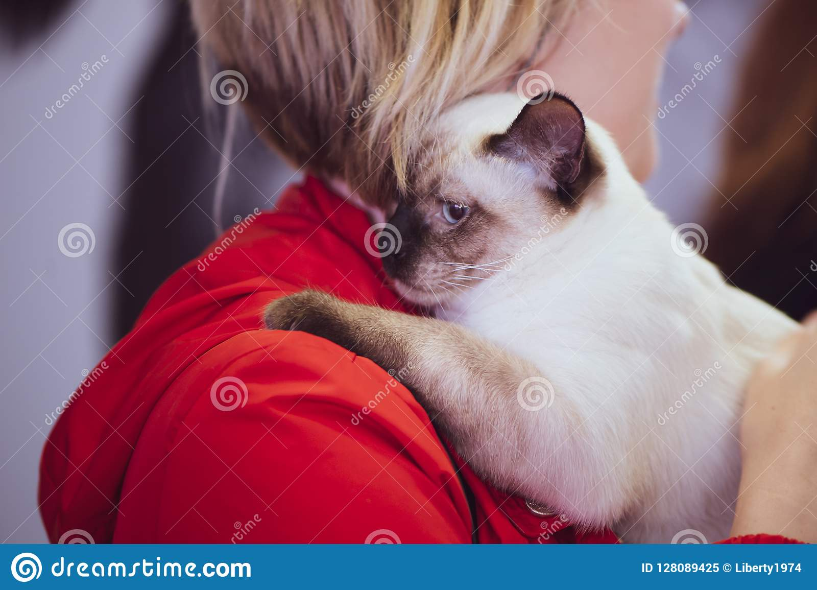 Chat thaïlandais dans les mains du propriétaire, exposition d animal familier