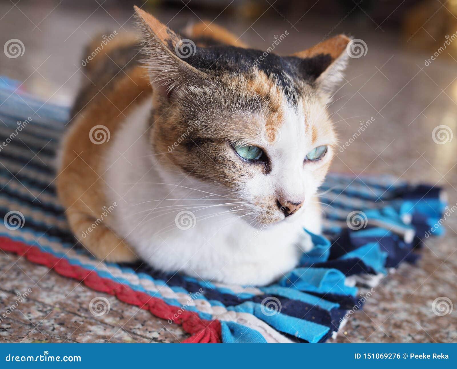 Chat thaïlandais sur le tapis
