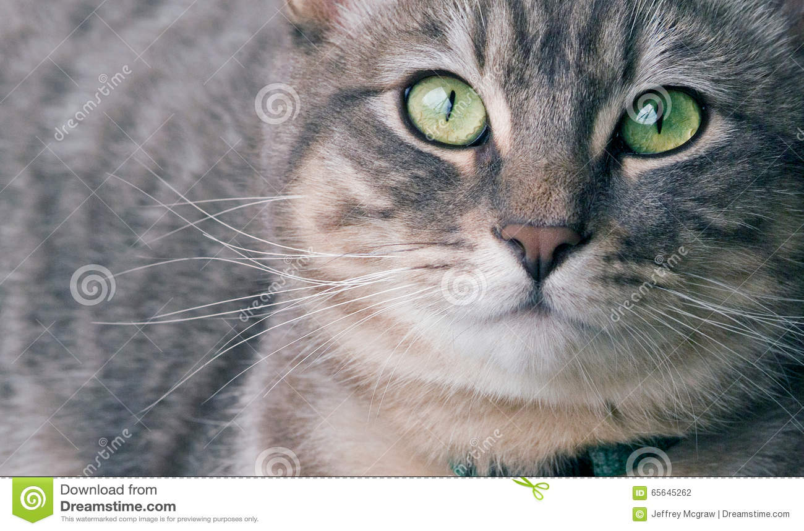 Chat tigré argenté
