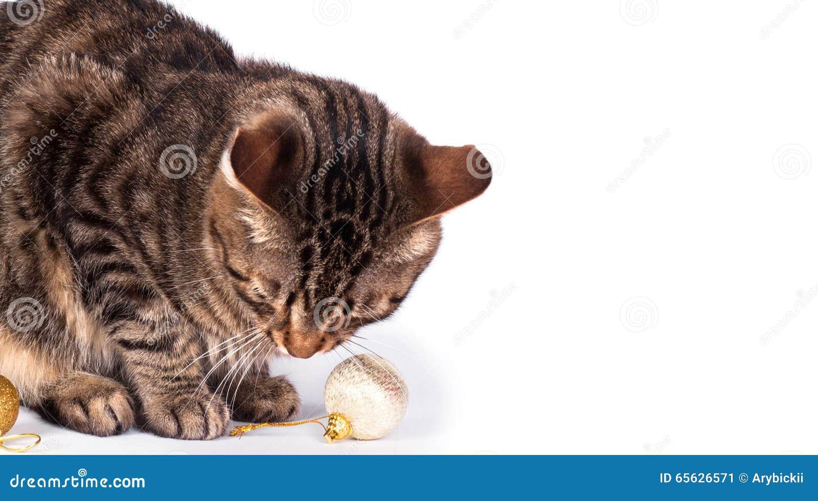 Chat tigré d isolement