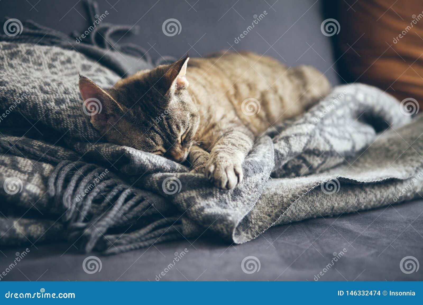 Chat tigr? dormant sur la couverture grise de laine de plaid avec des glands Chat de sommeil - r?ve parfait Pousse d int?rieur av