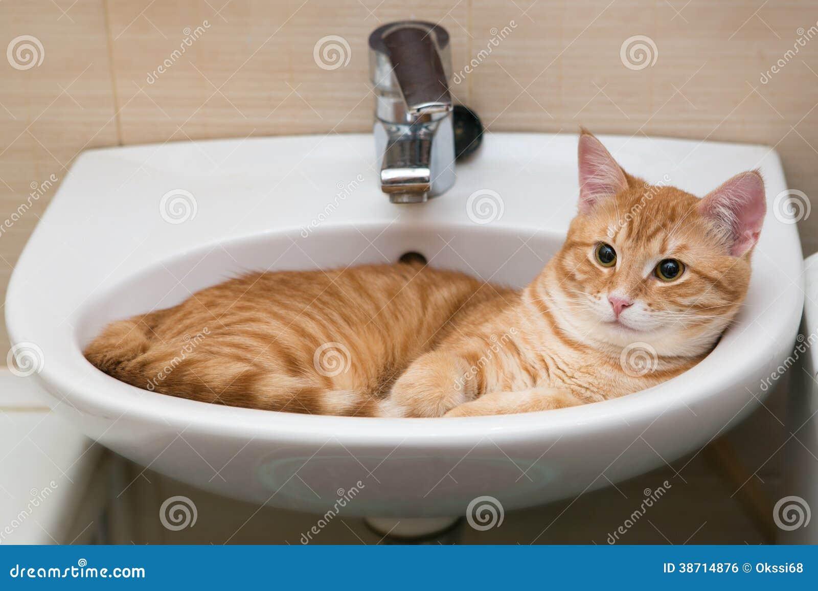 Chat tigré orange en varech